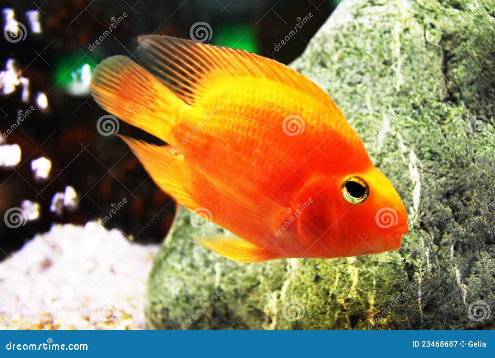 goldene fische im aquarium lizenzfreie stockfotografie. Black Bedroom Furniture Sets. Home Design Ideas