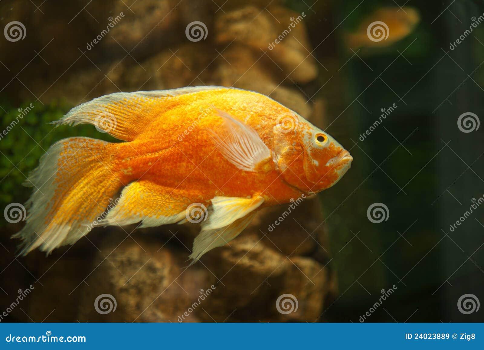 Goldene fische im aquarium stockbild bild von golden for Salzwasser aquarium fische