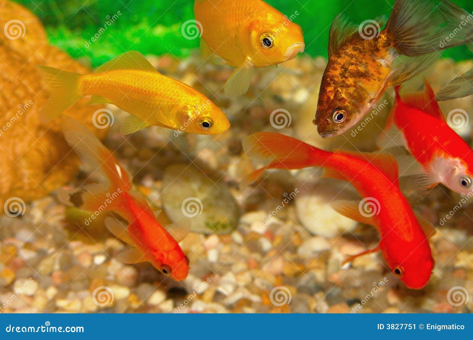 Goldene fische im aquarium stockbild bild 3827751 for Fische aquarium