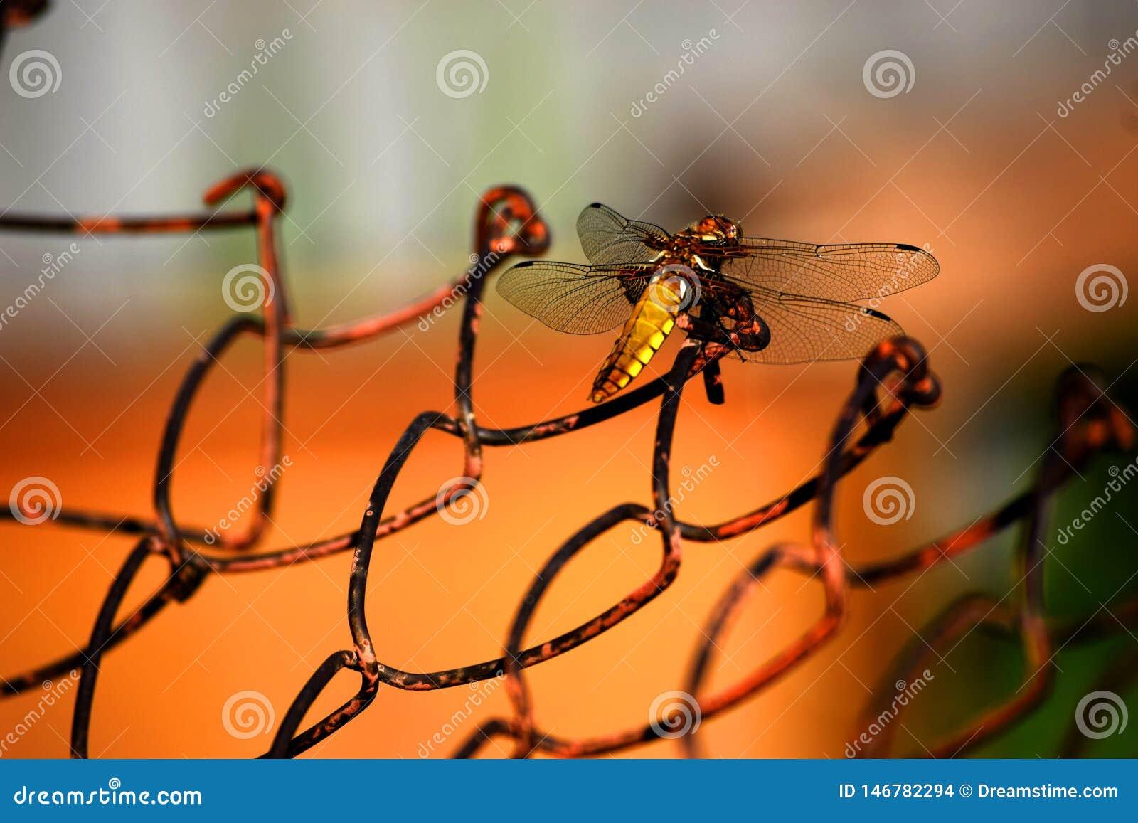 Goldene Libelle auf dem Eisengitter
