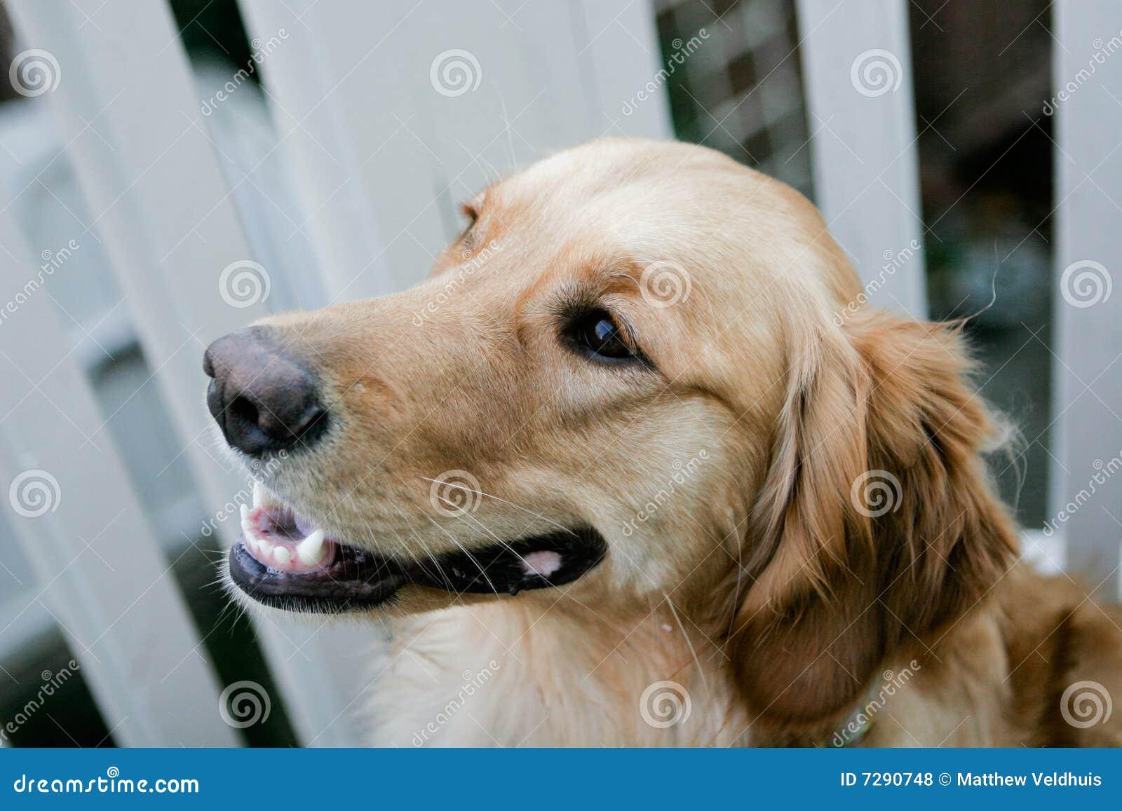 Goldener Apportierhund-Welpe