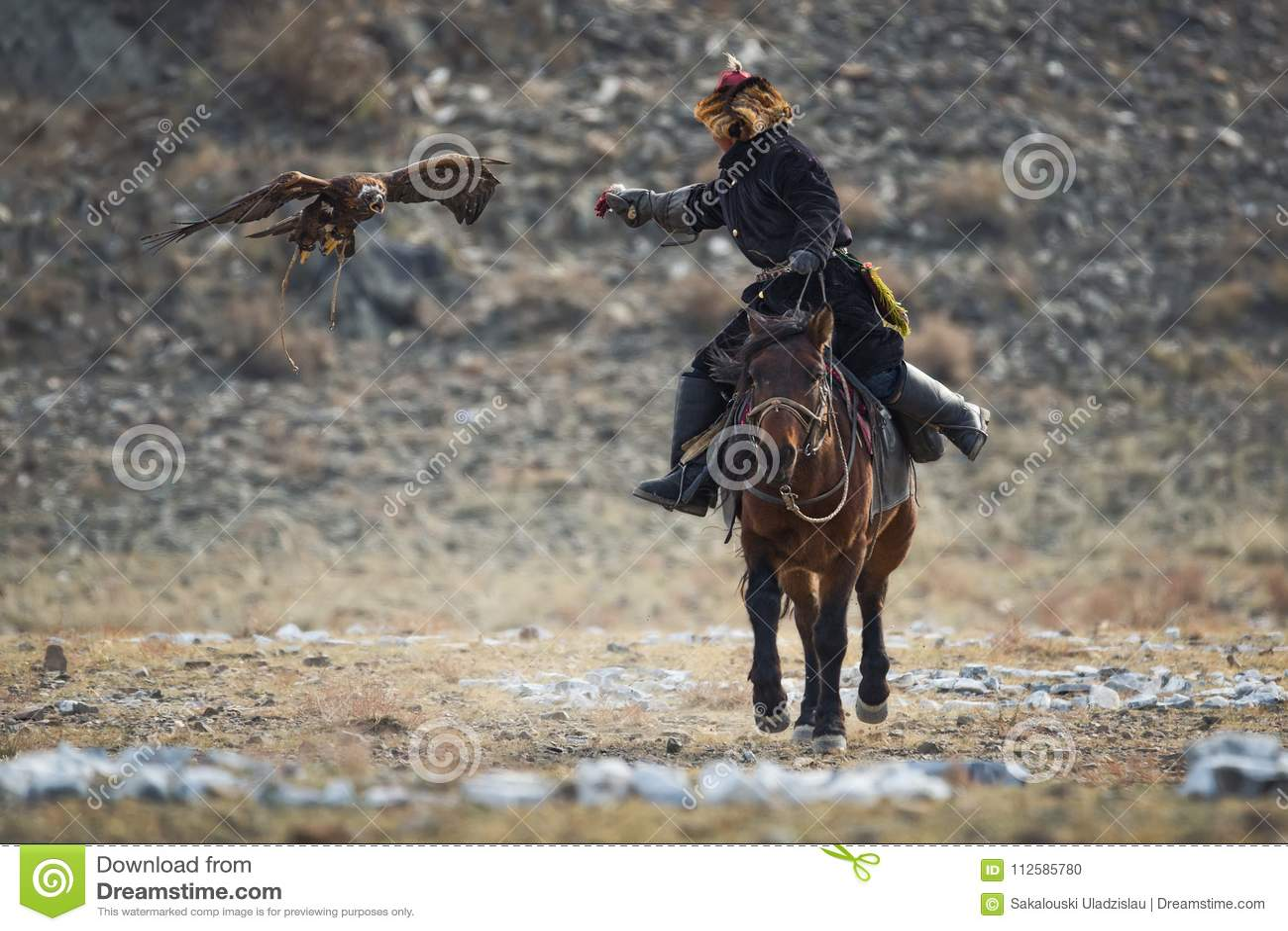 Goldener Eagle Attacks Prey West-Mongolei Traditioneller goldener Eagle Festival Unbekannter Mongolian Hunter So Called Berkutchi