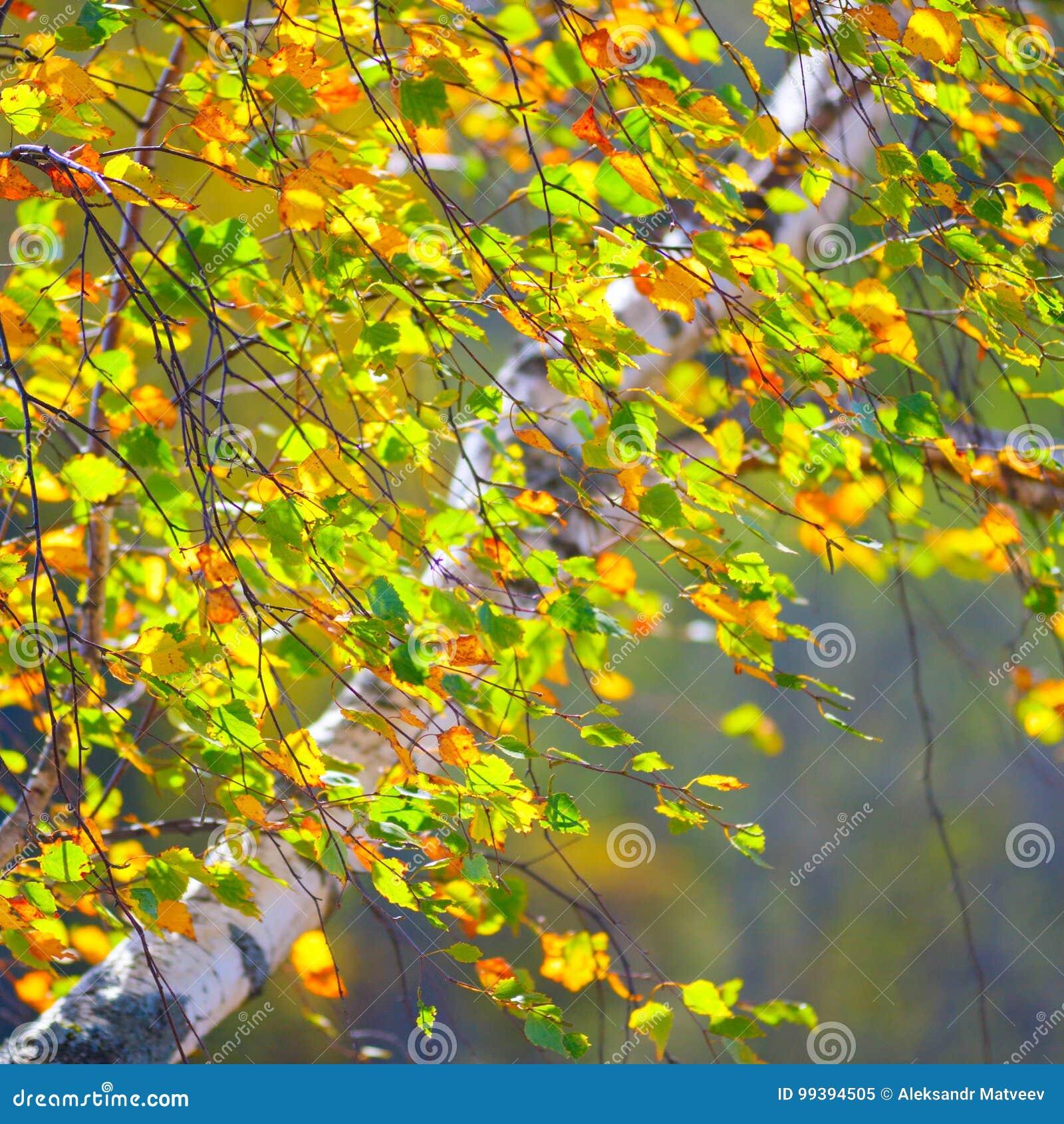 Goldener Herbst, Birkenwaldhintergrund