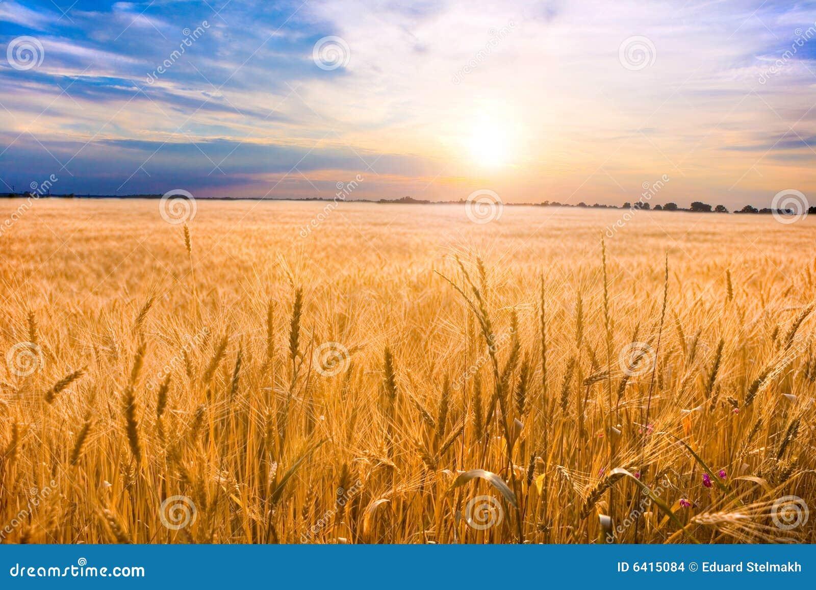 Goldener Weizen betriebsbereit zur Ernte, die in einem Bauernhof wächst
