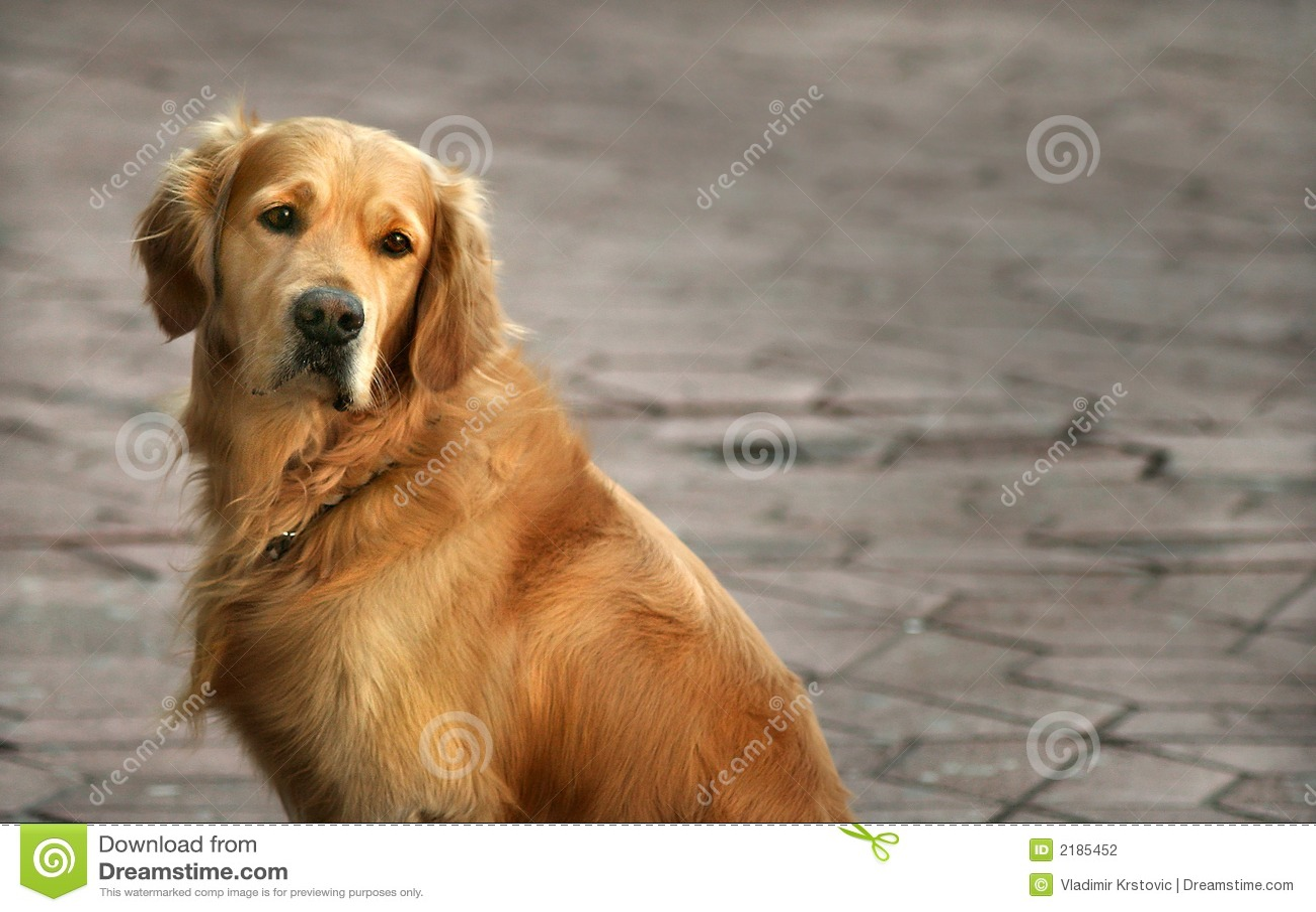 Goldenes Apportierhund-entferntes Anstarren