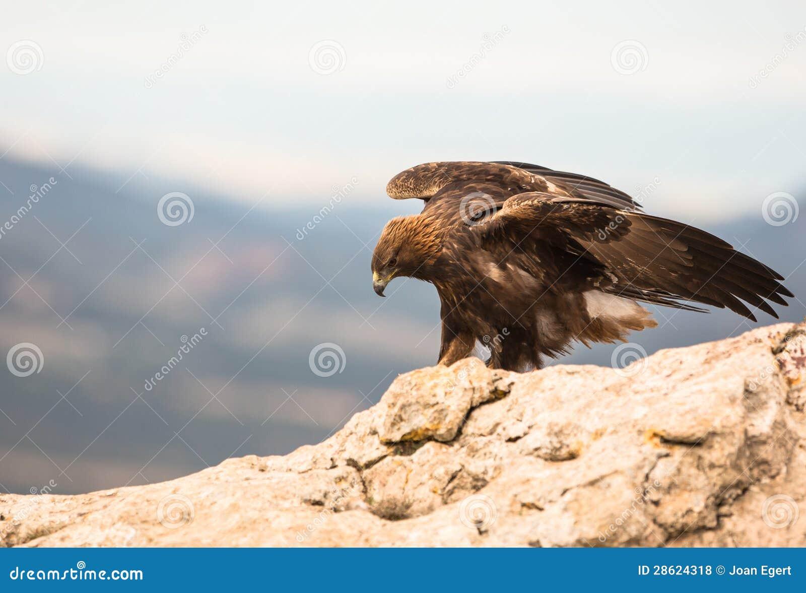 Goldenes Eagle auf einem Felsen