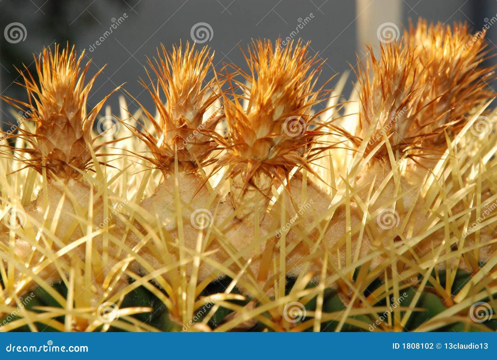 Goldenes Fass-Kaktus-Blumen mit Grün
