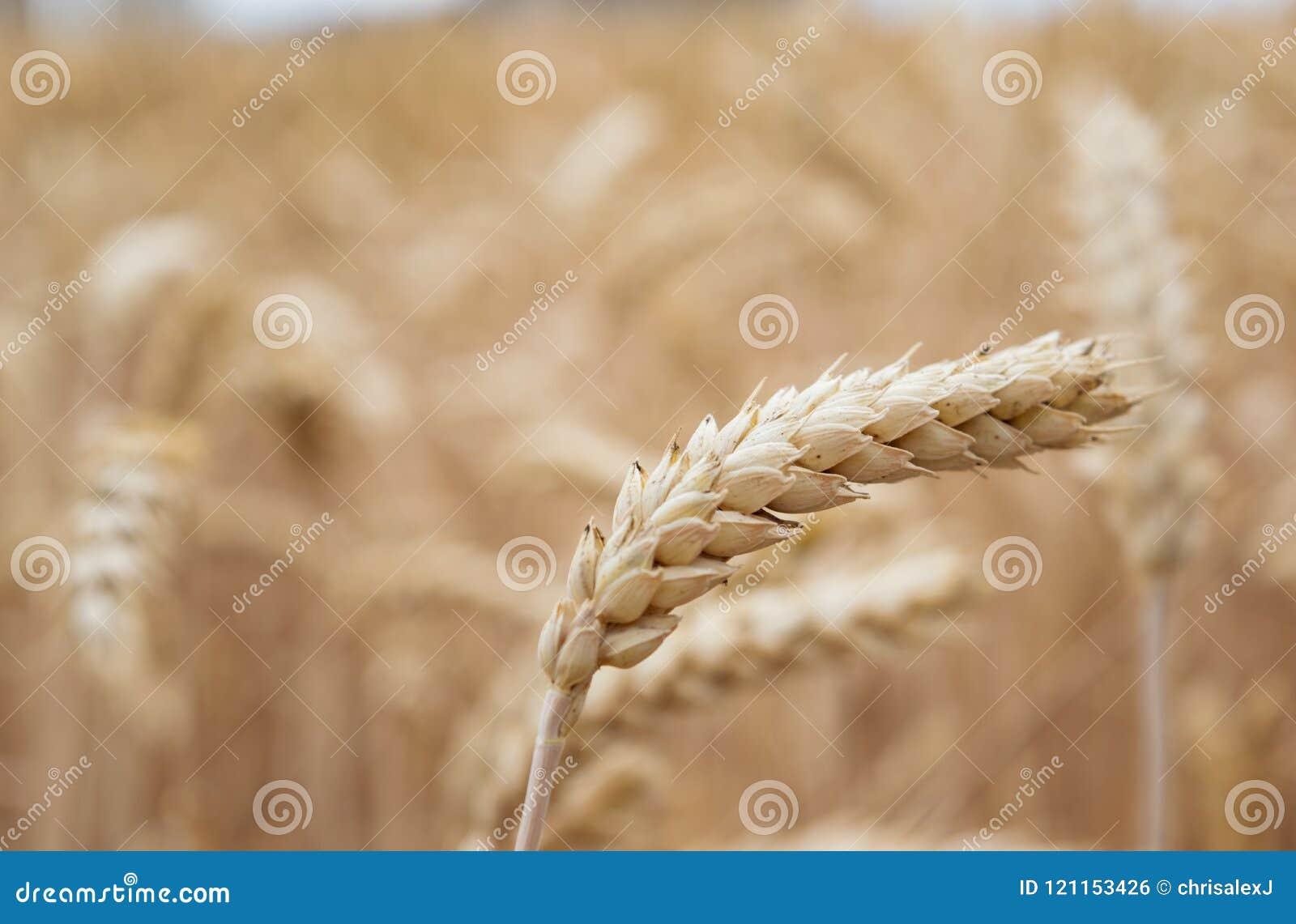 Goldenes Getreidefeld bereit zur Ernte