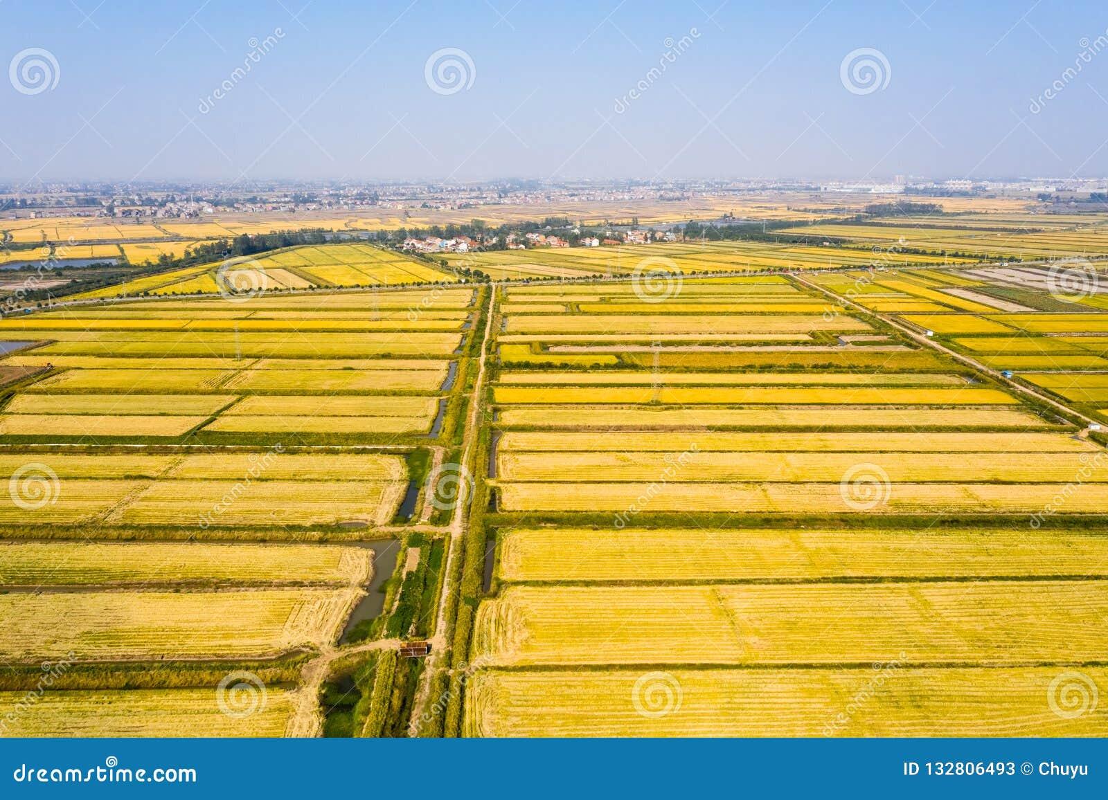 Goldenes Reisfeld im Herbst
