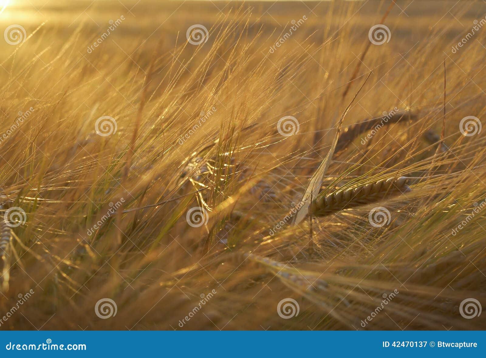 Goldenes Rye