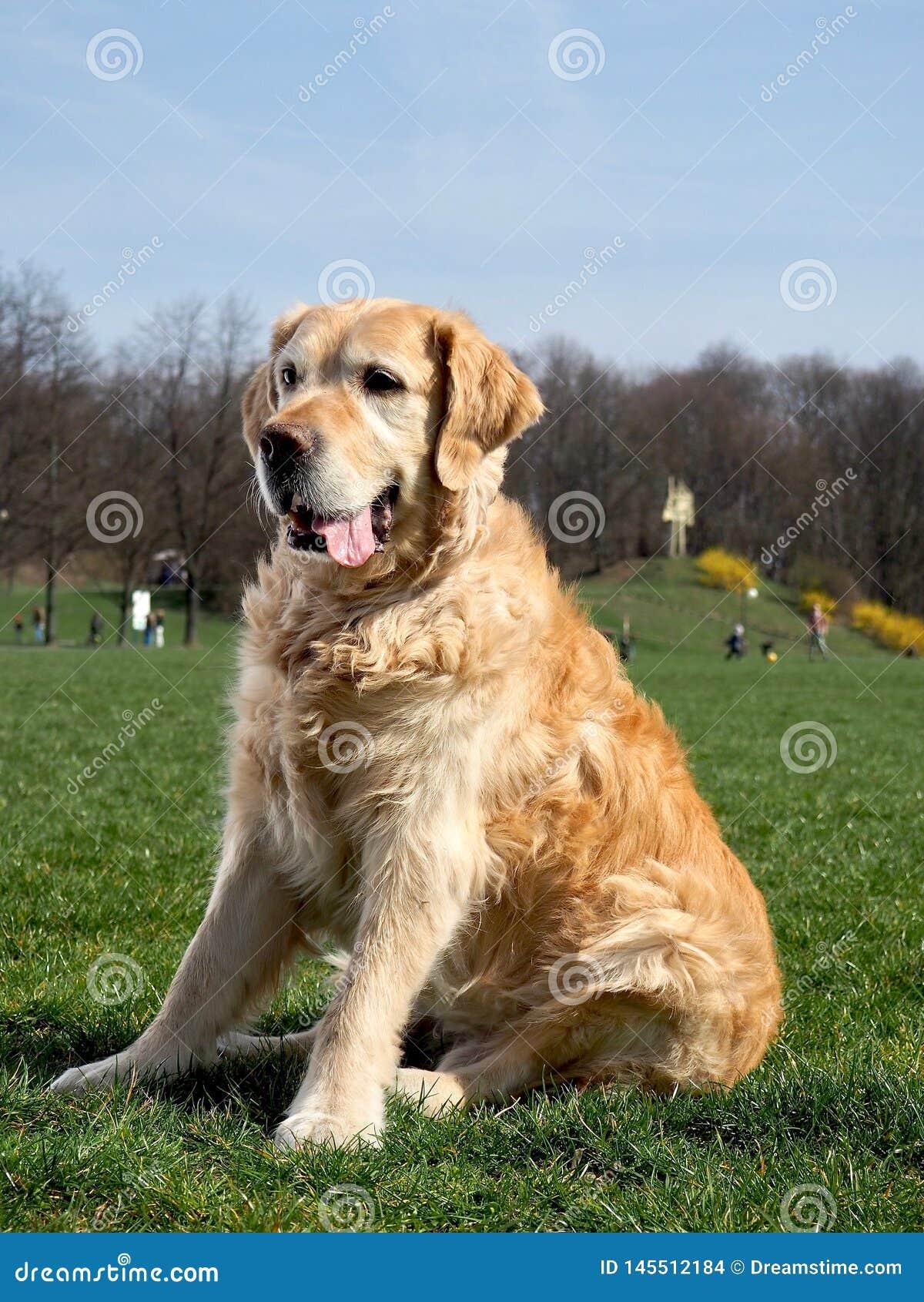 Goldenretriever en un paseo en el parque en un día soleado