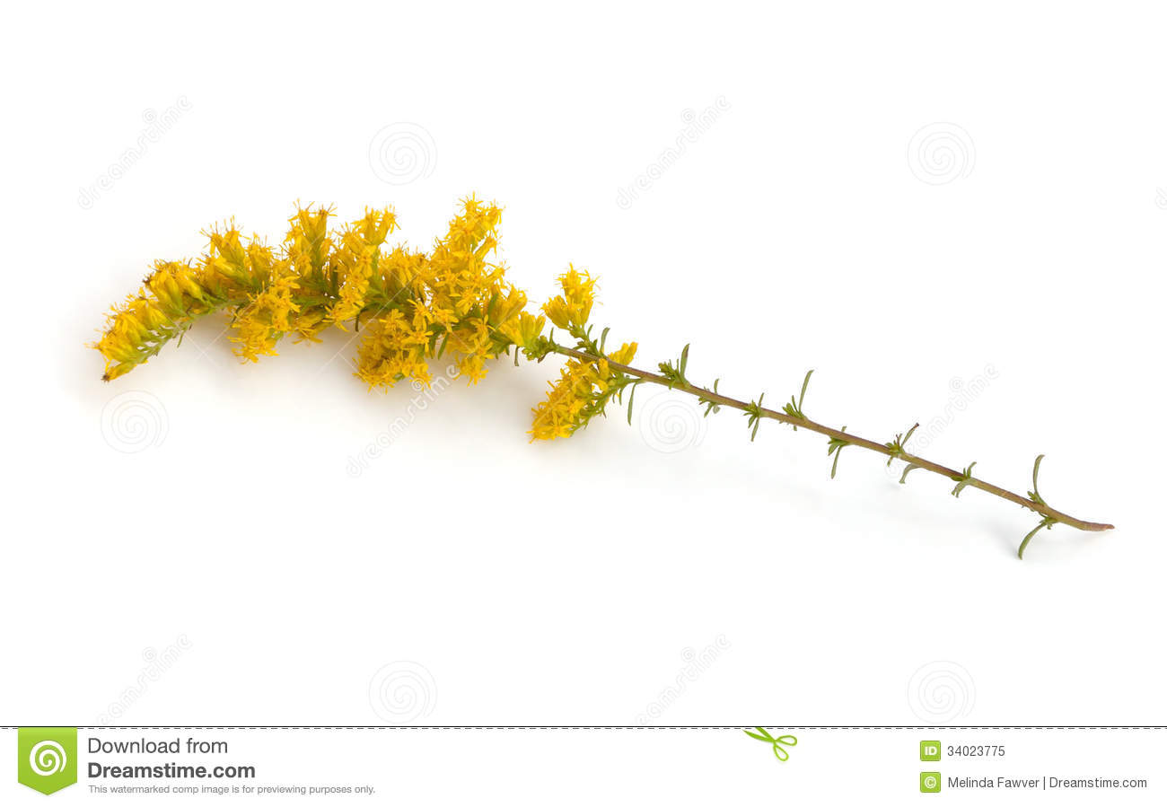 goldenrod women Dear allergy sufferers: don't blame goldenrod  the attacking warriors ran into the woods looking for the girls, but a medicine woman found them first.