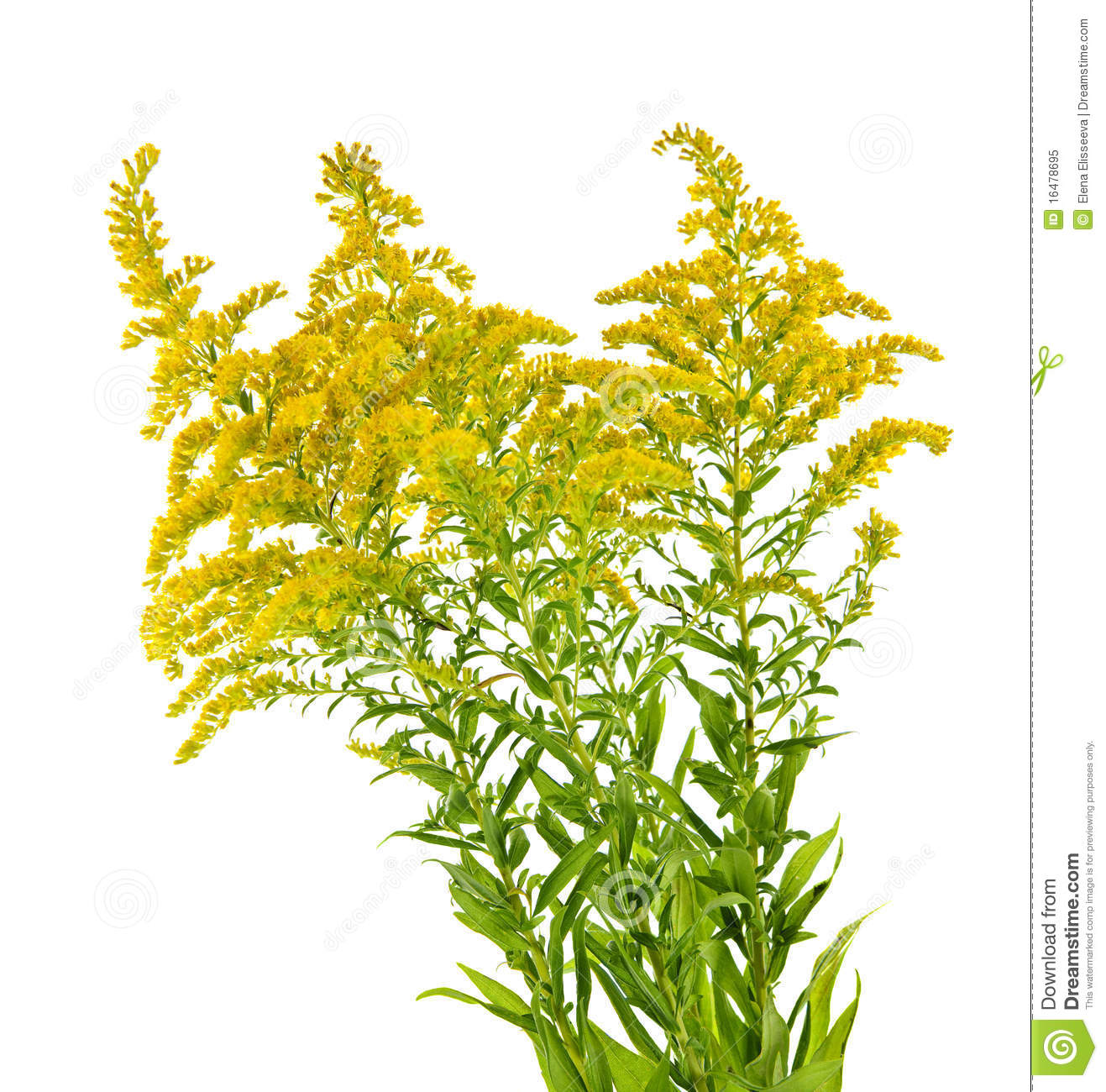 Goldenrod Plant Royalty Free Stock Photo - Image: 16478695