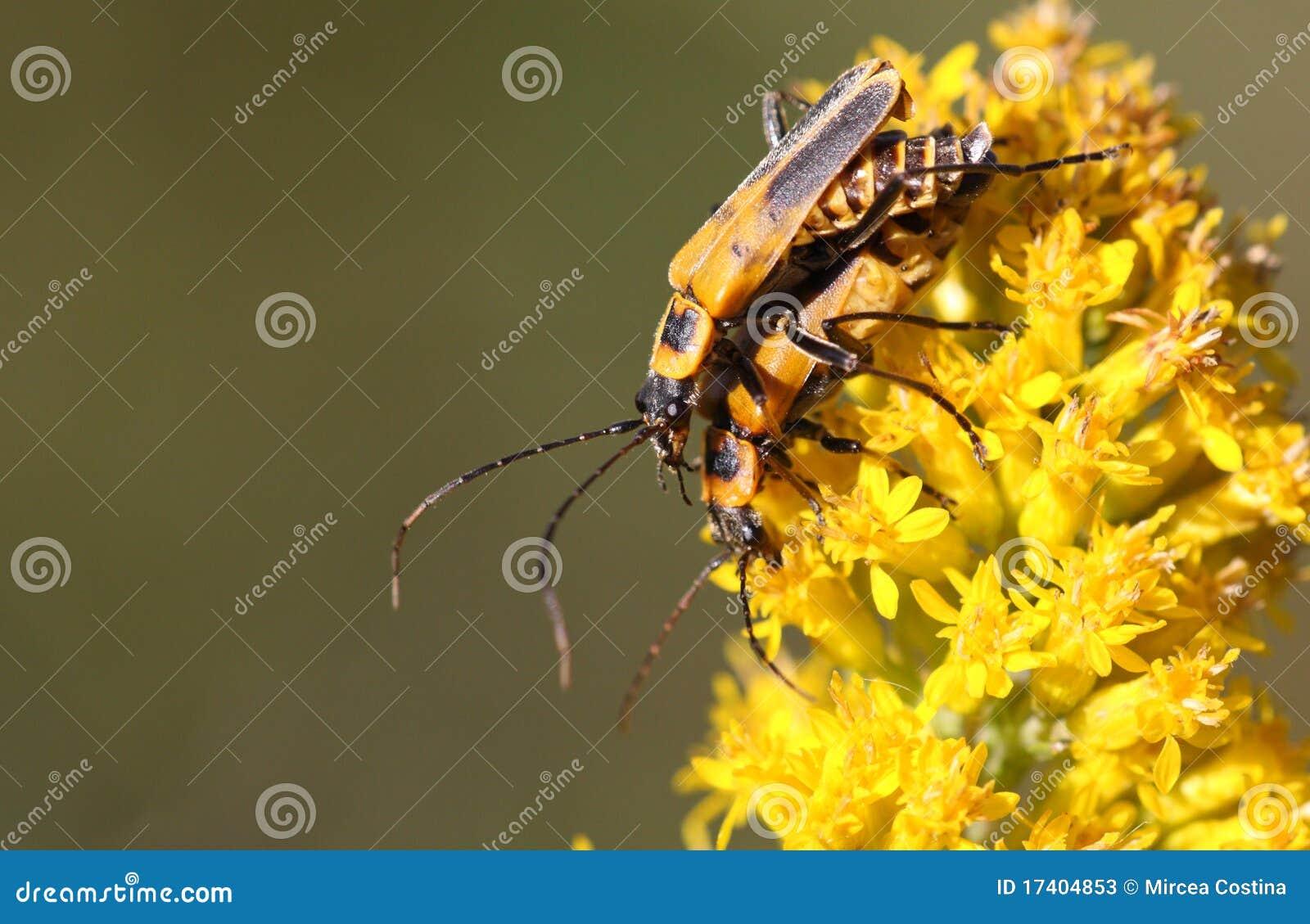 Goldenrod Soldier Beetle Chauliognathus pensylvanicus  mate Goldenrod Soldier Beetle