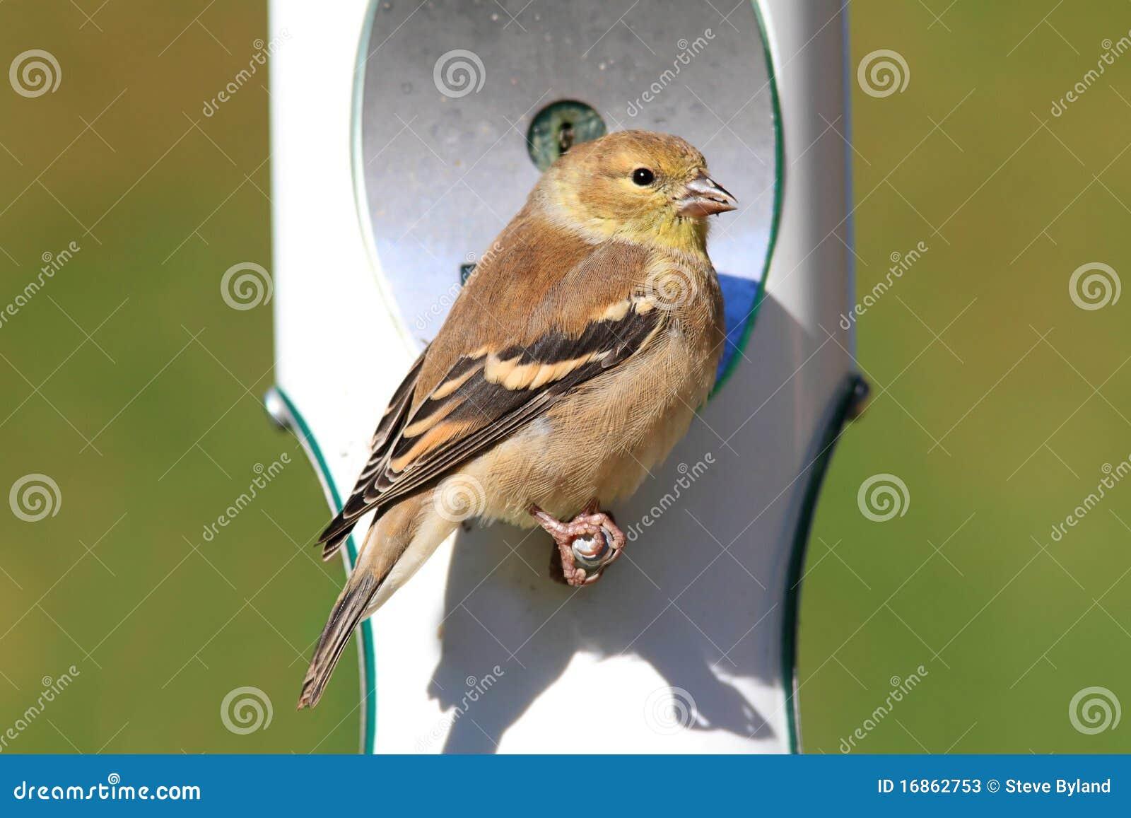 Goldfinch americano (tristis do Carduelis)