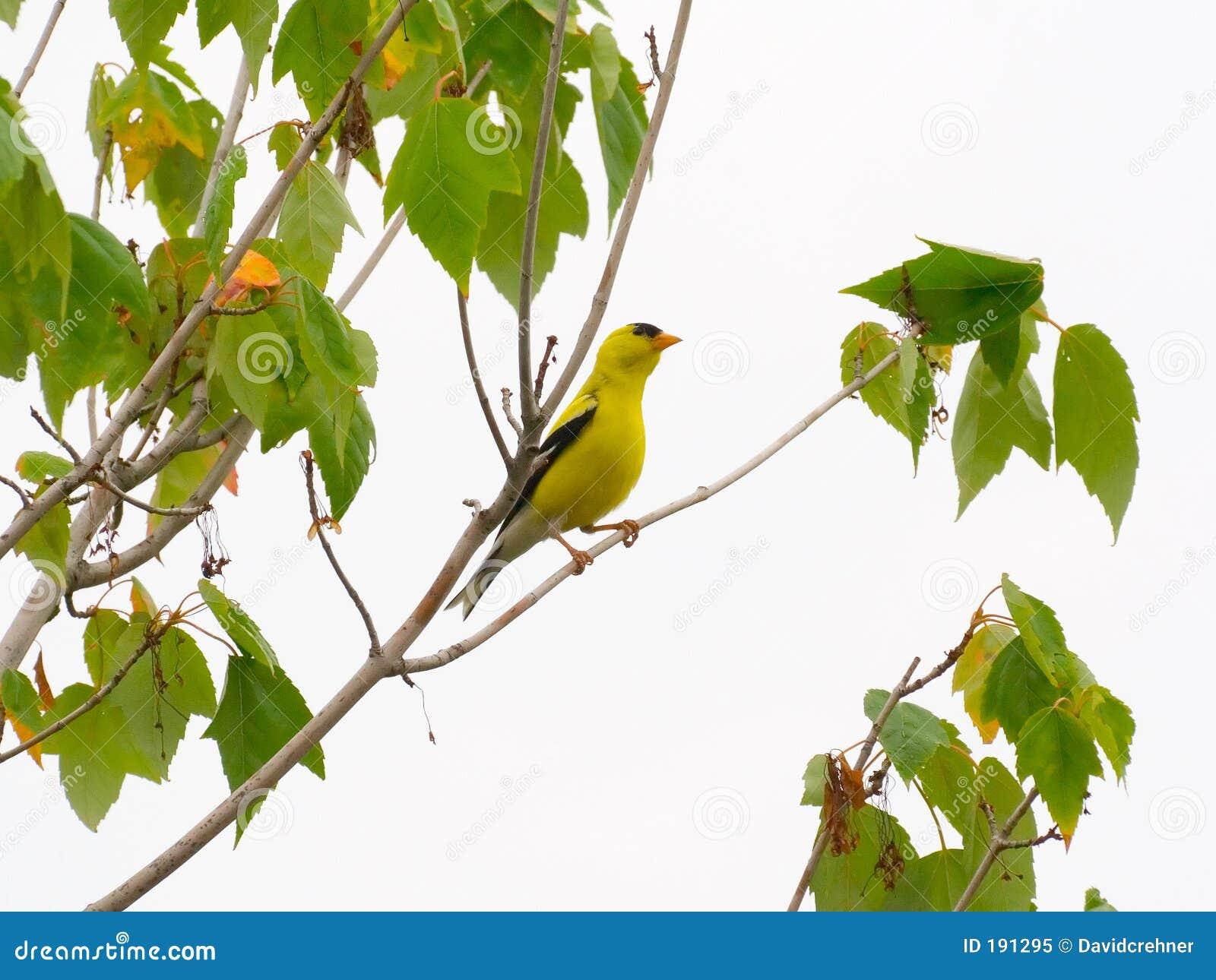 Goldfinch en un árbol