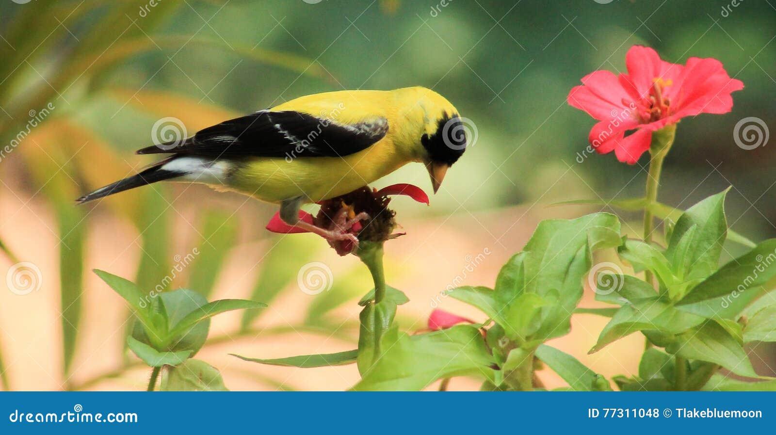 Goldfinch-flower