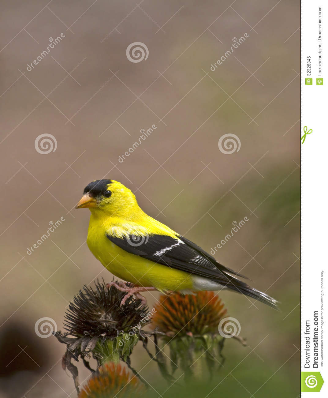 Goldfinch Perched On Coneflower, Vertical Stock Photo - Image of ...