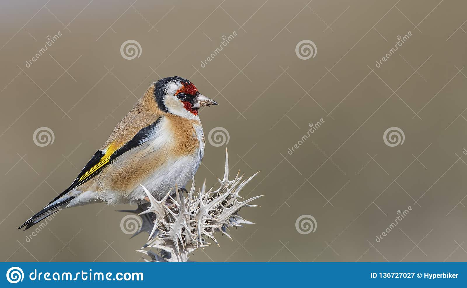 Goldfinch on Thistle with Mud on Beak