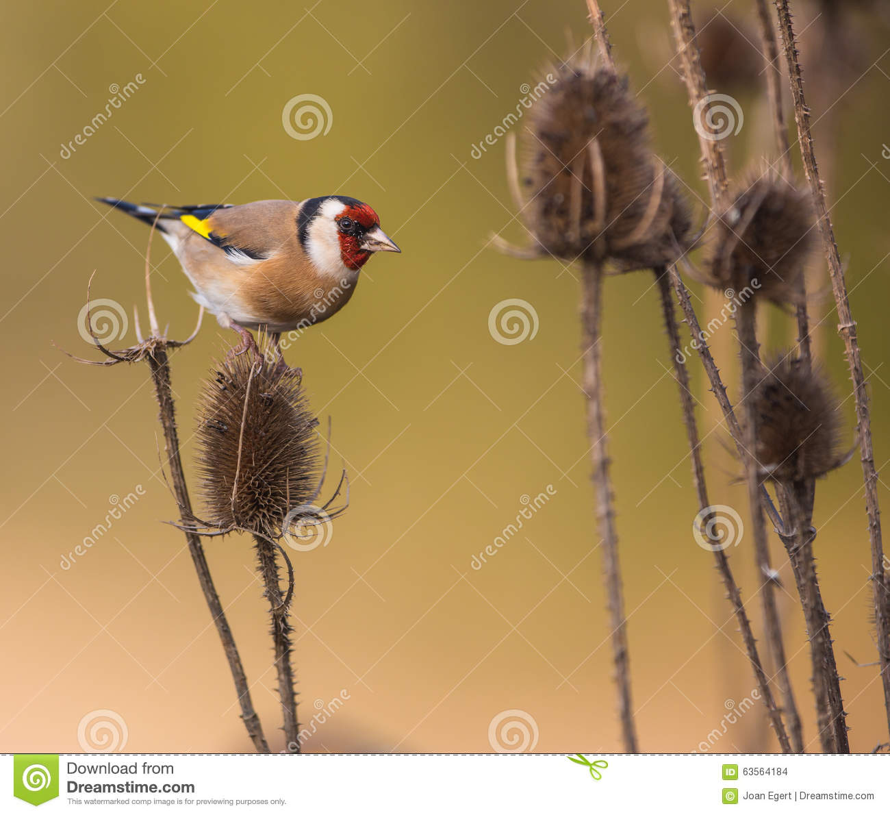 Download Goldfinch on Thistle plant stock photo. Image of wild - 63564184