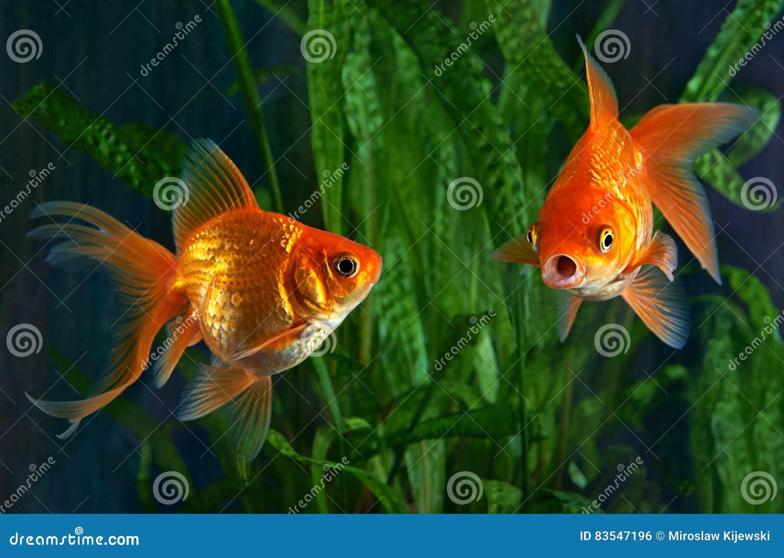 Goldfisch aquarium algen stockfoto bild von gr n for Algen im aquarium