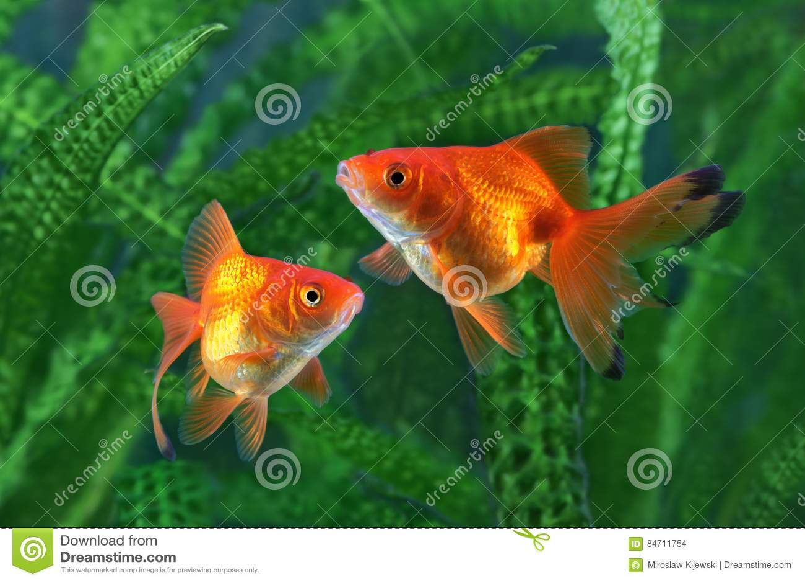 goldfisch aquarium ein fisch auf dem hintergrund von algen stockfoto bild 84711754. Black Bedroom Furniture Sets. Home Design Ideas