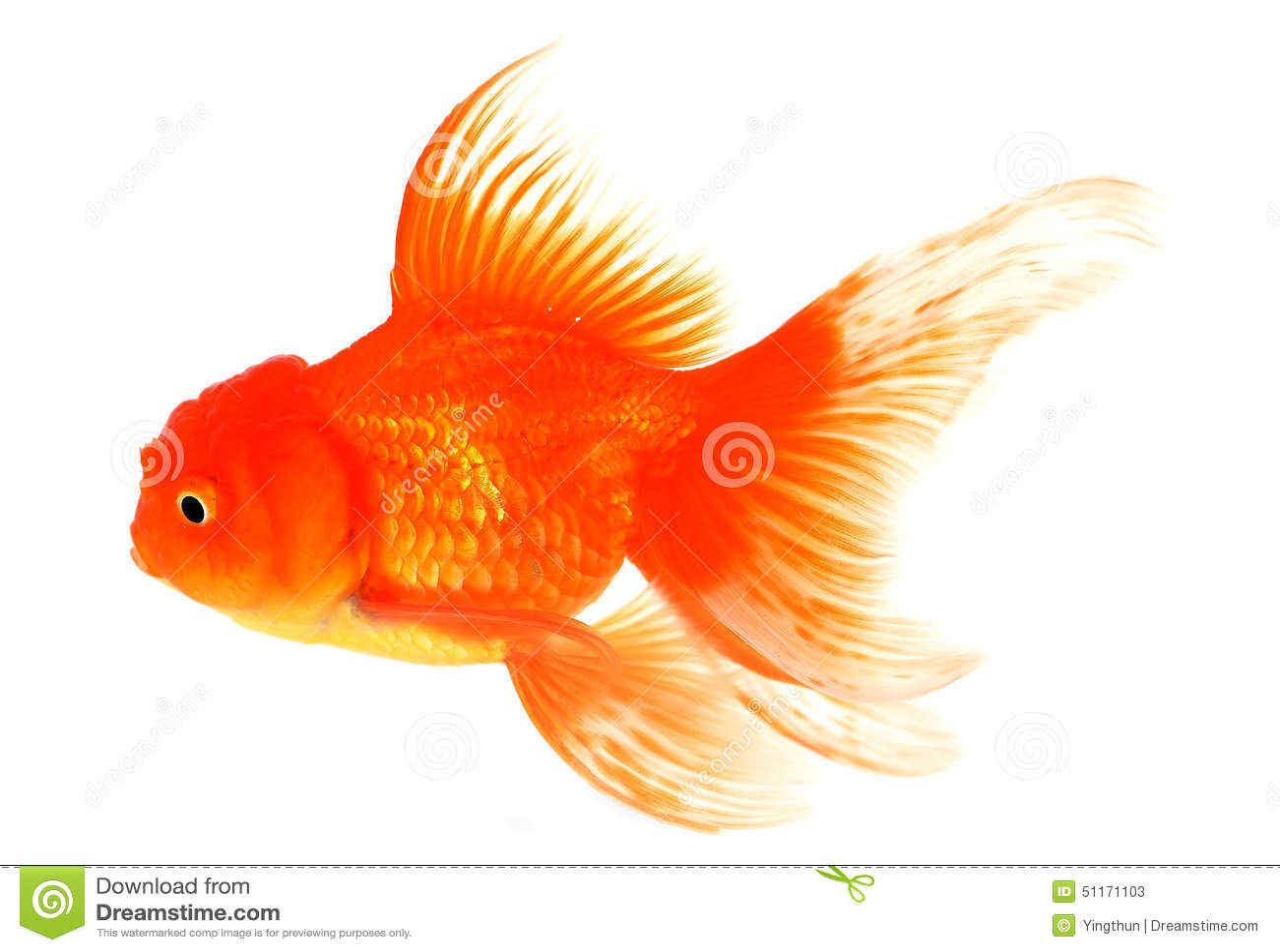 Goldfisch mit Weiß auf Hintergrund