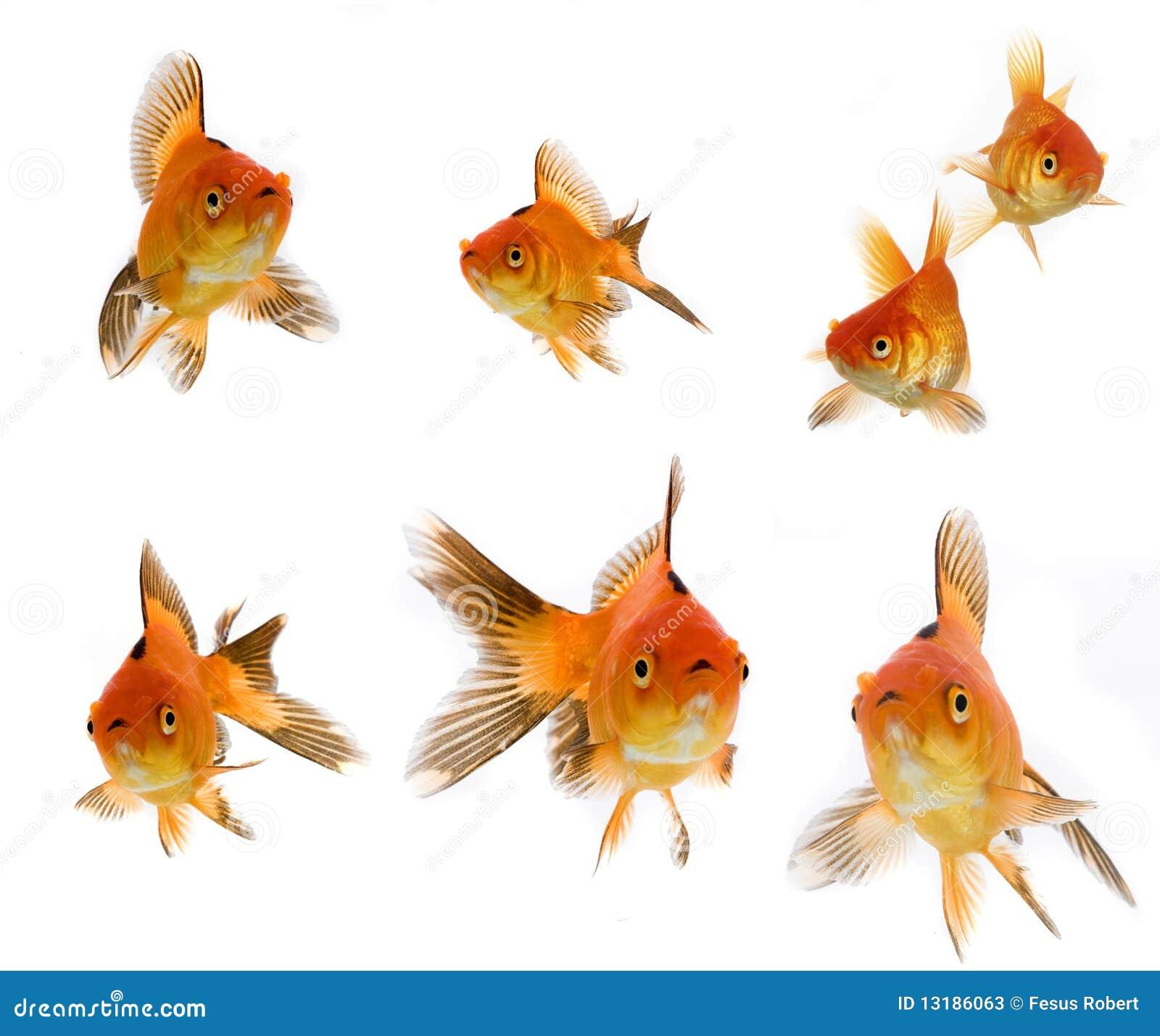 Goldfish θέστε