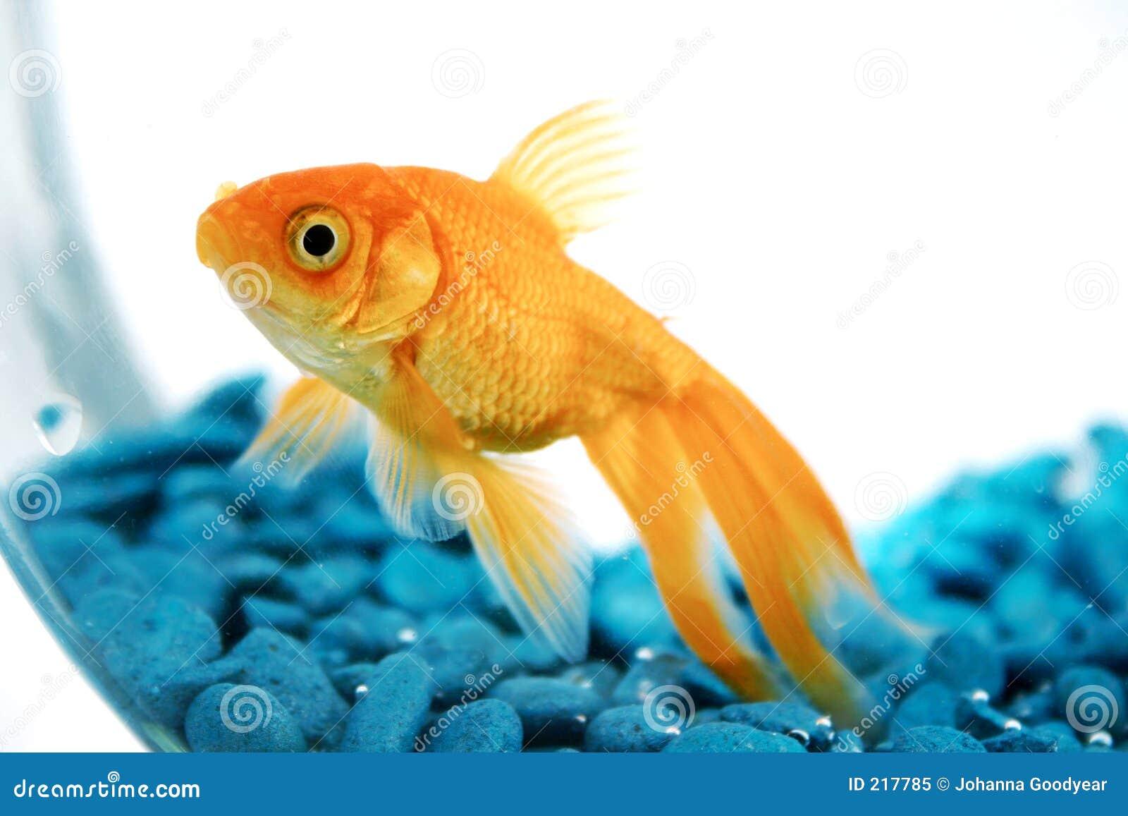 Золотая рыбка поздравление на юбилей