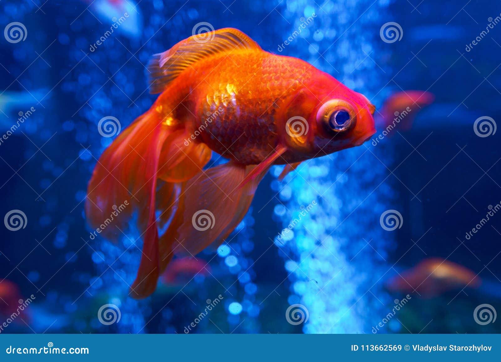 Goldfish In The Aquarium Stock Image Image Of Interior 113662569