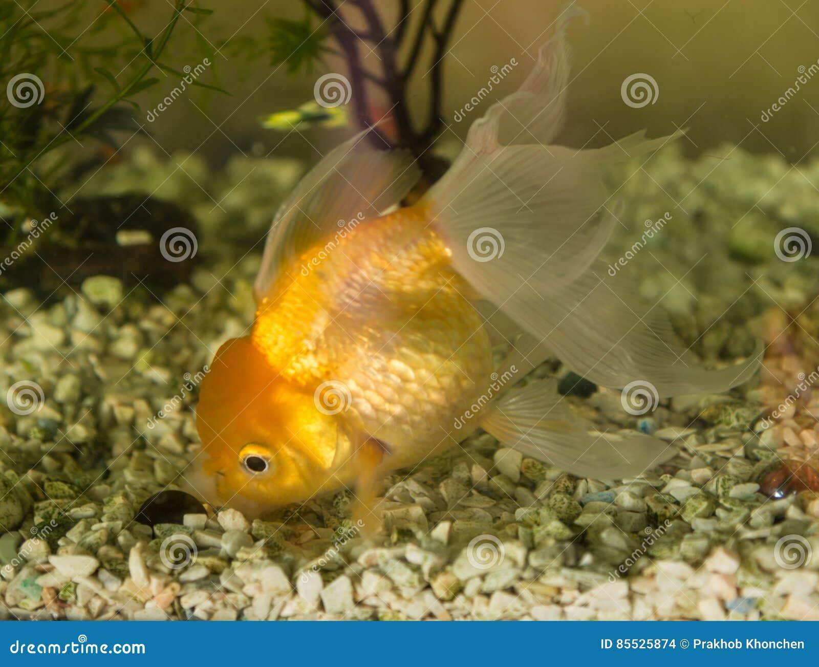 Goldfish Aquarium A Fish On The Background Stock Photo Image Of