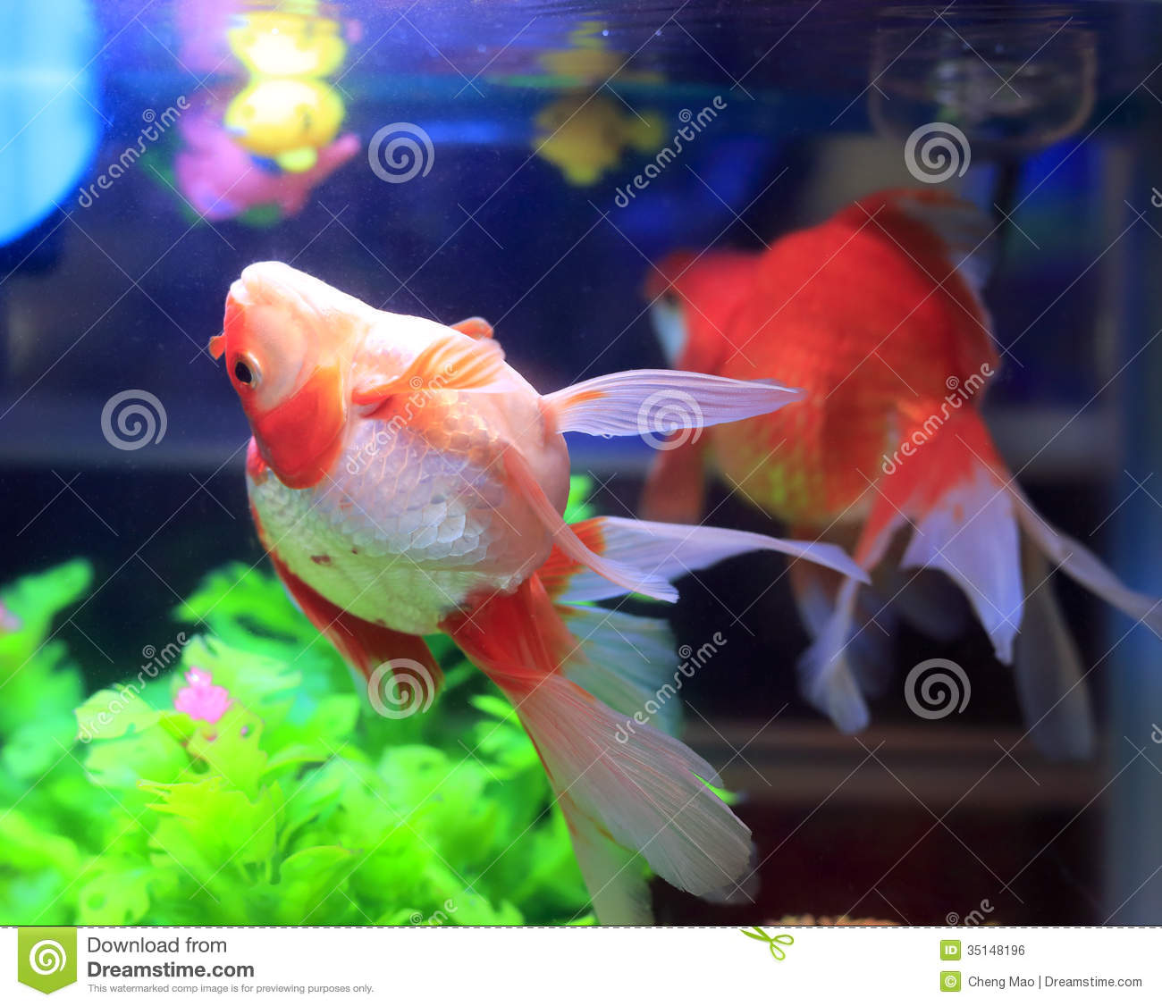 Goldfish in aquarium royalty free stock image image for Fish tank for goldfish