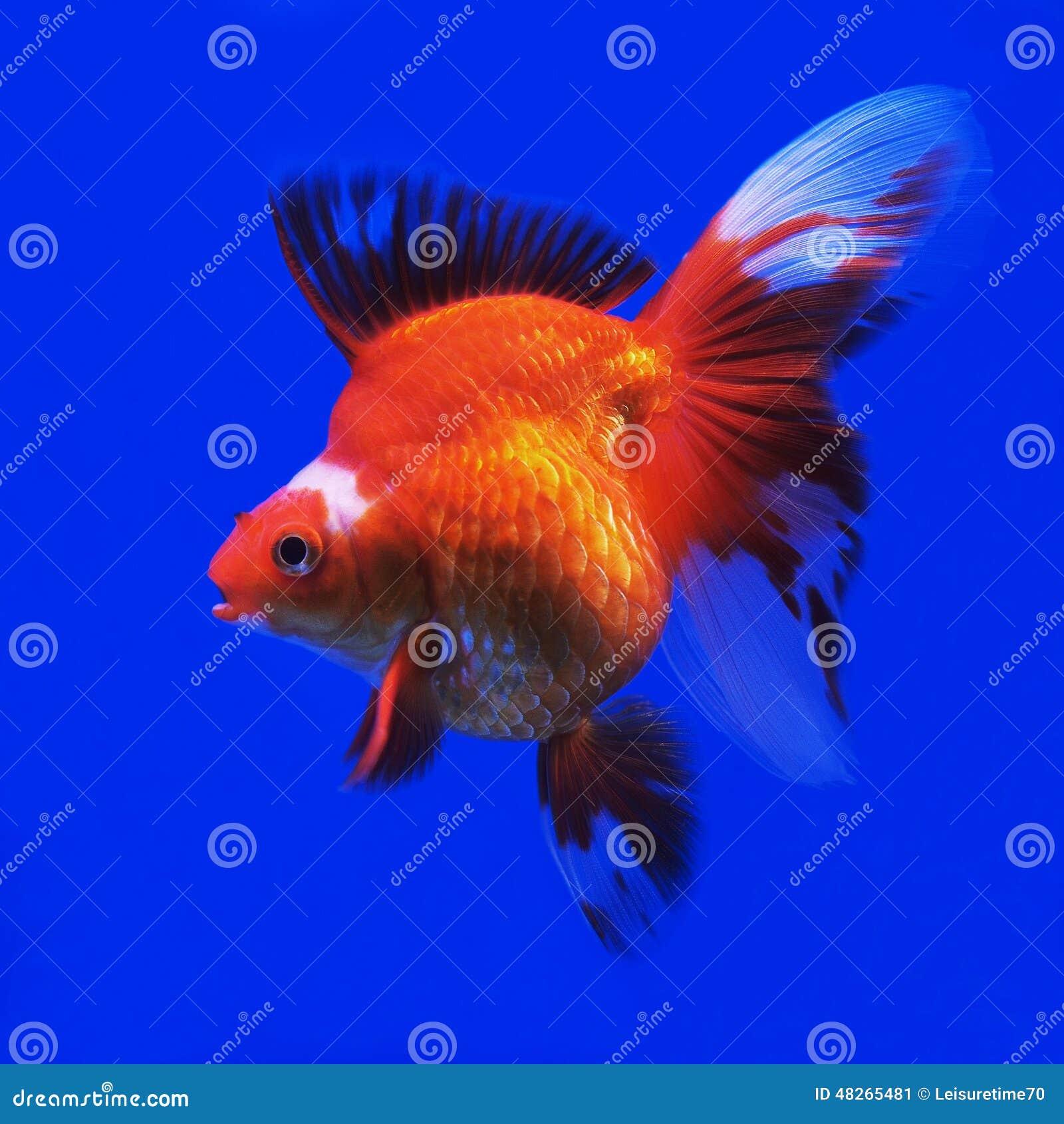 Goldfish Stock Photo - Image: 48265481