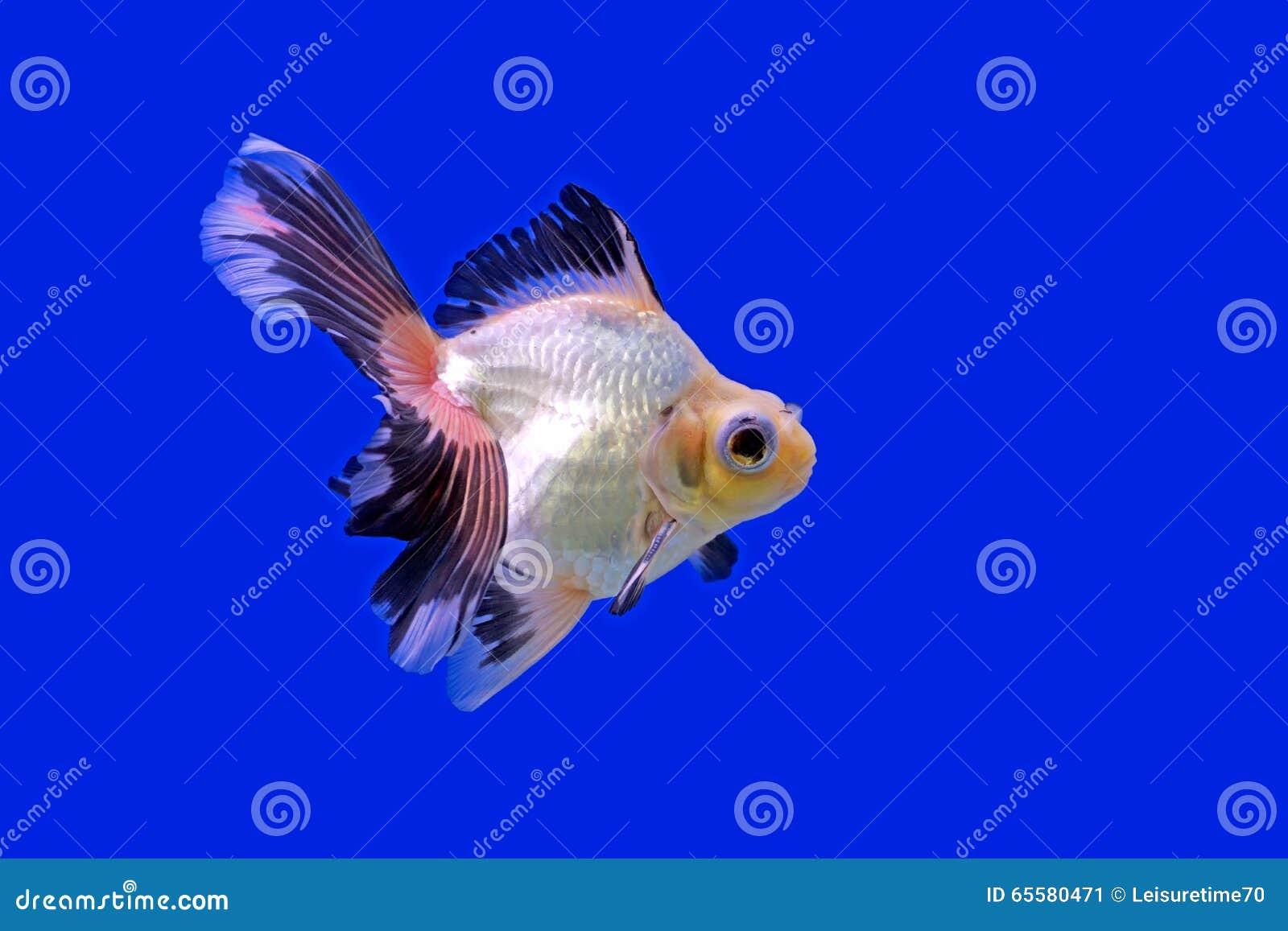 Goldfish bonito