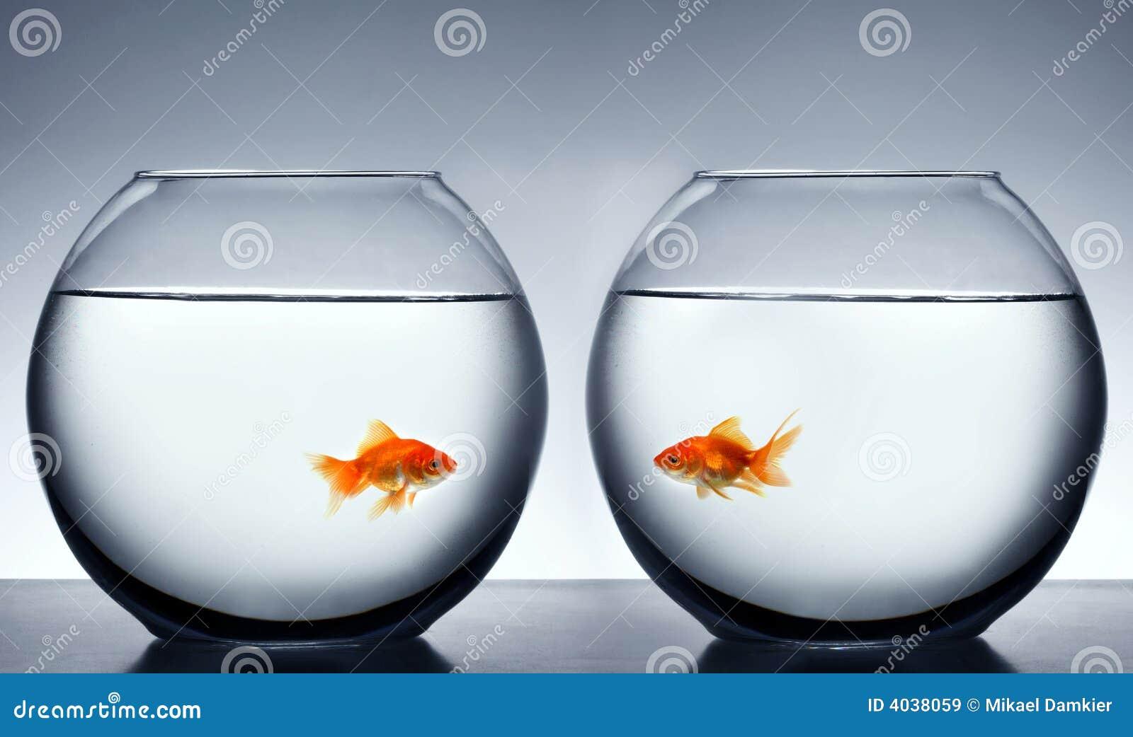 Goldfish, der sich verliebt