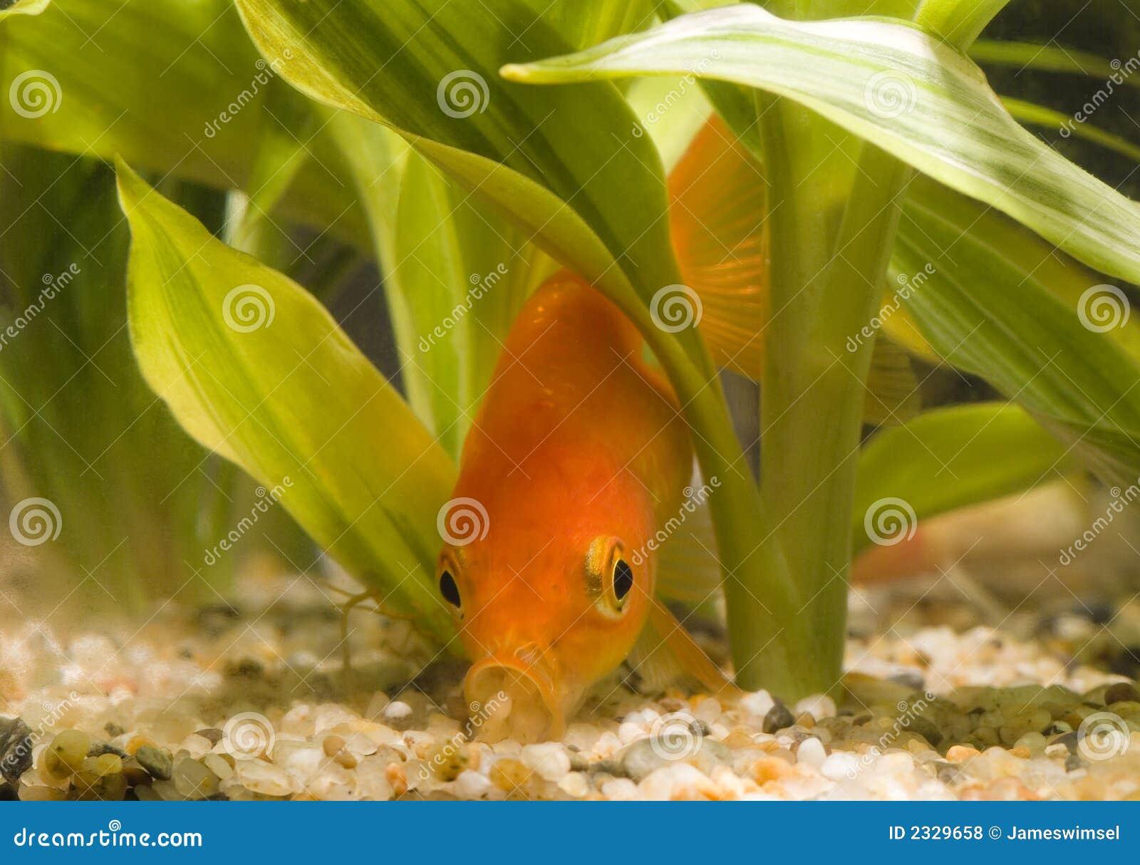 Goldfish Eating 01 Royalty Free Stock Photos Image 2329658
