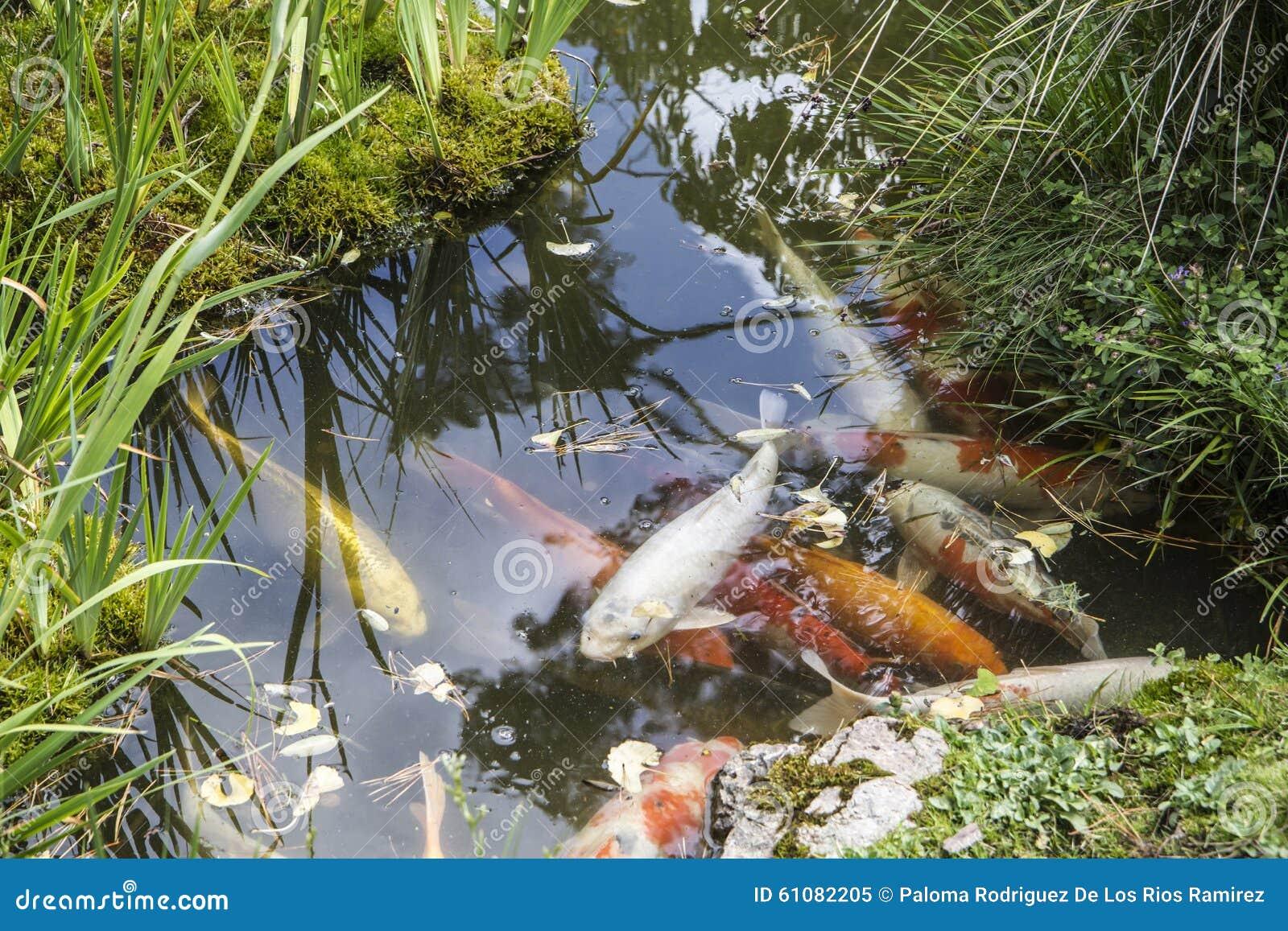 Goldfish en una charca