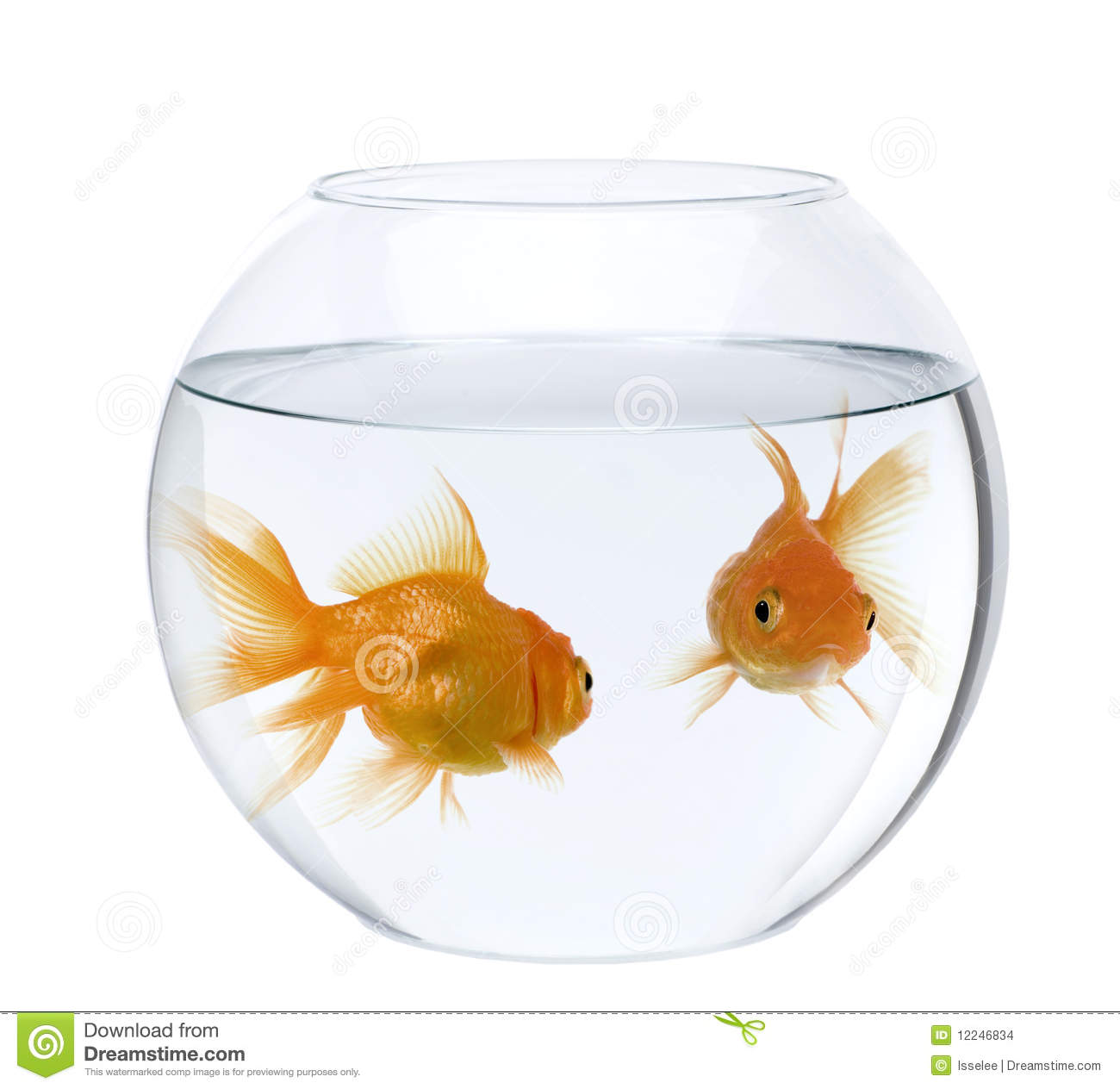 Goldfish in fish bowl, against white background