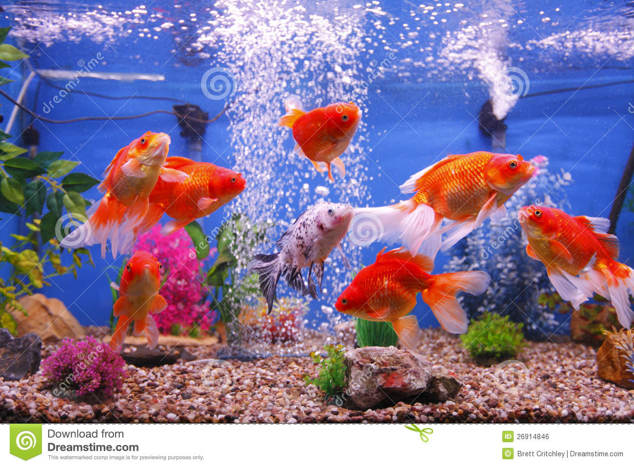 Goldfish fish tank stock photo image of carps fish for Fish tank for goldfish