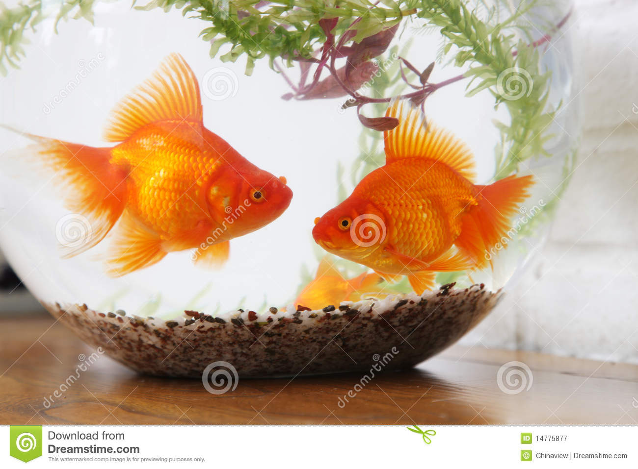 Fish in tank with goldfish - Goldfish In Fish Tank Close Up Royalty Free Stock Photography