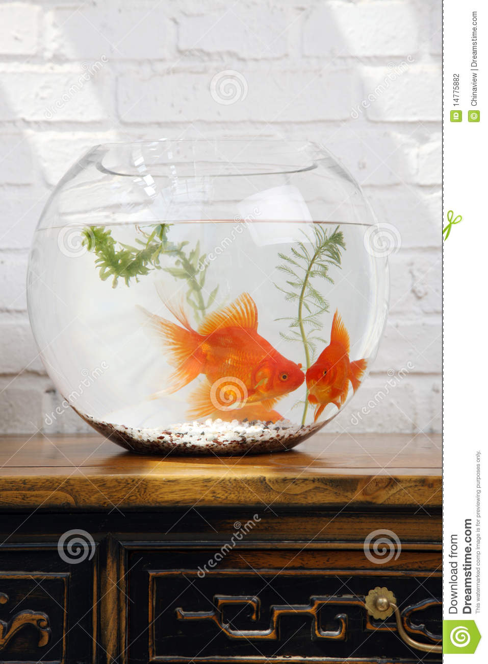 Fish in tank with goldfish - Goldfish In Fish Tank Close Up