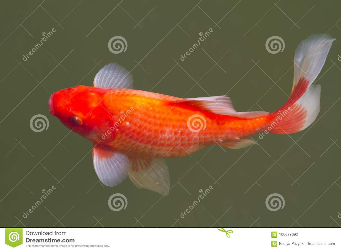 Goldfish In A Freshwater Pond Stock Photo - Image of landscape ...