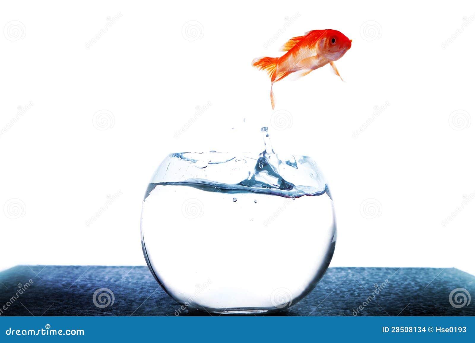 Goldfish Jumping Out Of Tank Stock Photo 28508134 Megapixl