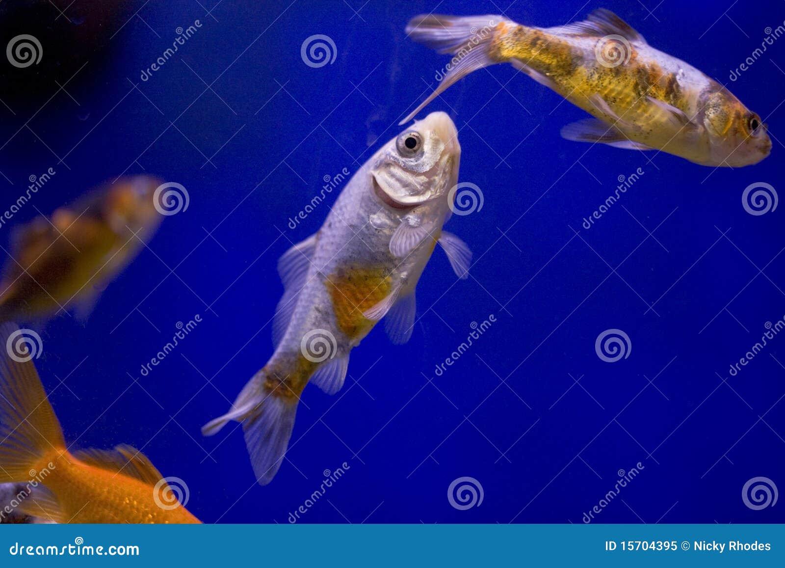 Goldfish mit einem blauen Hintergrund