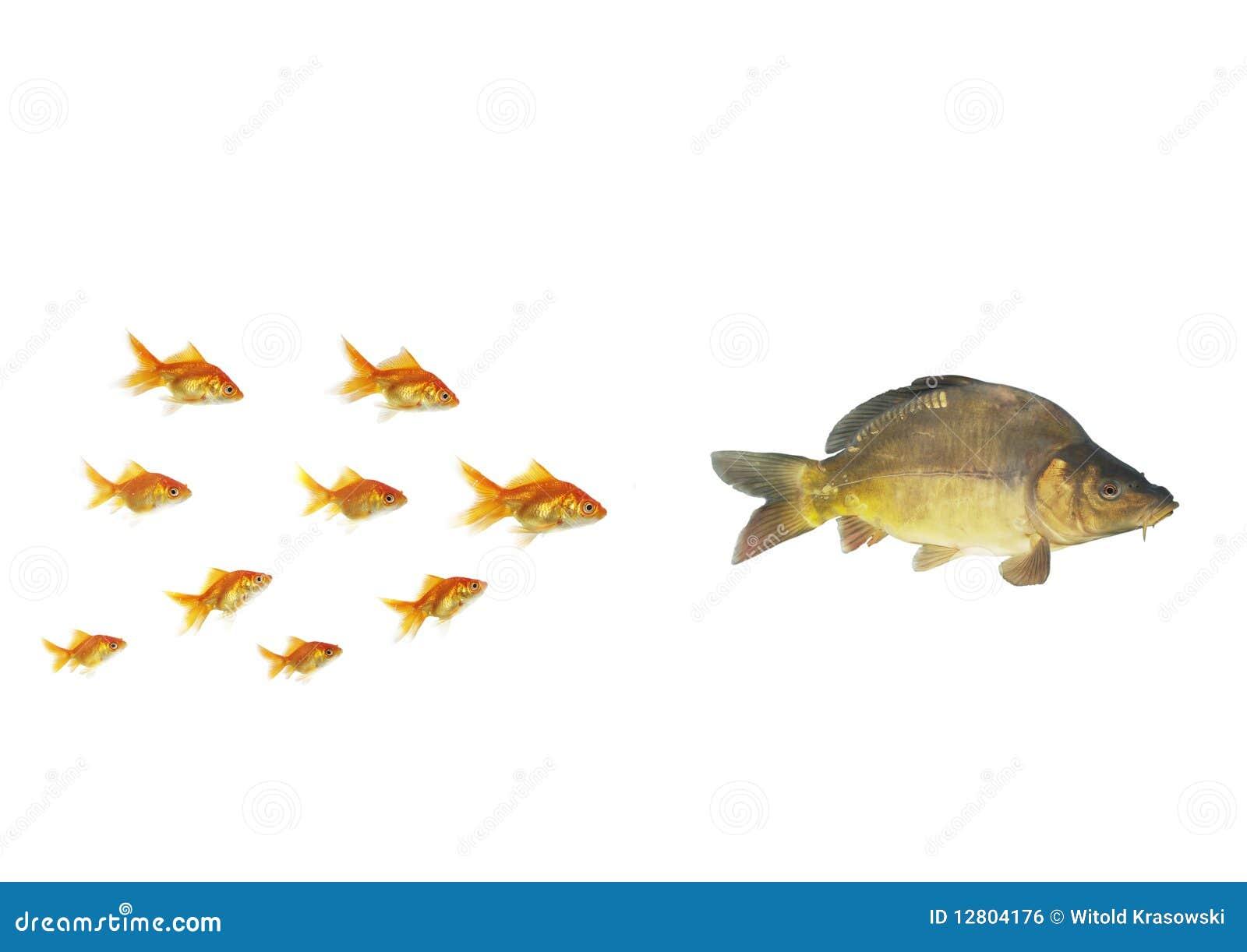 Goldfish que flui para maior