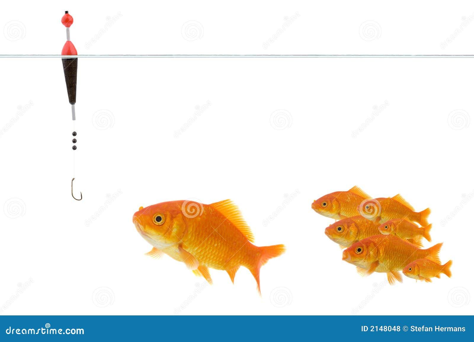 Goldfish que toma el cebo