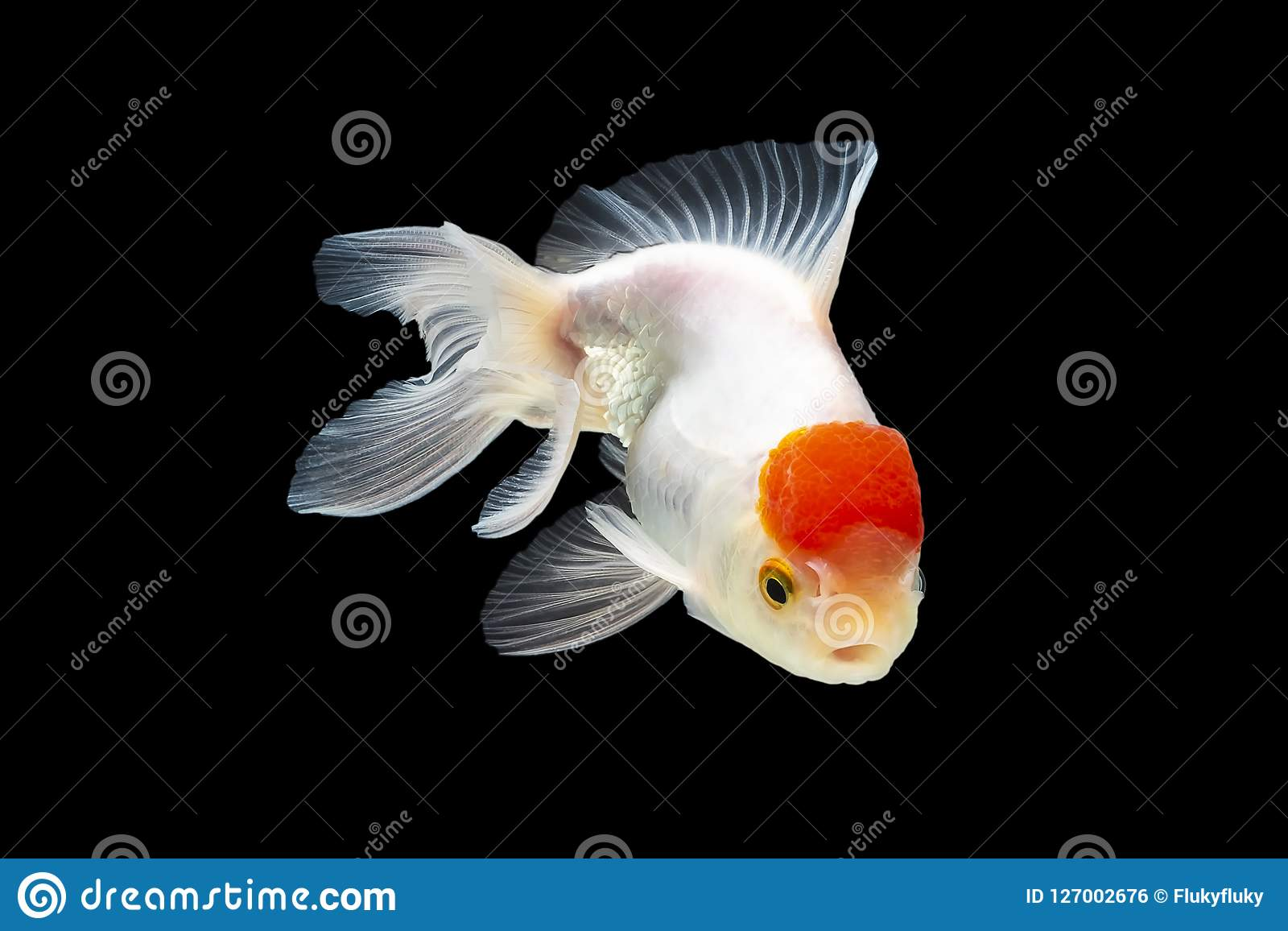 Goldfish, red jellyfish swimming happily. Isolated on a black ba