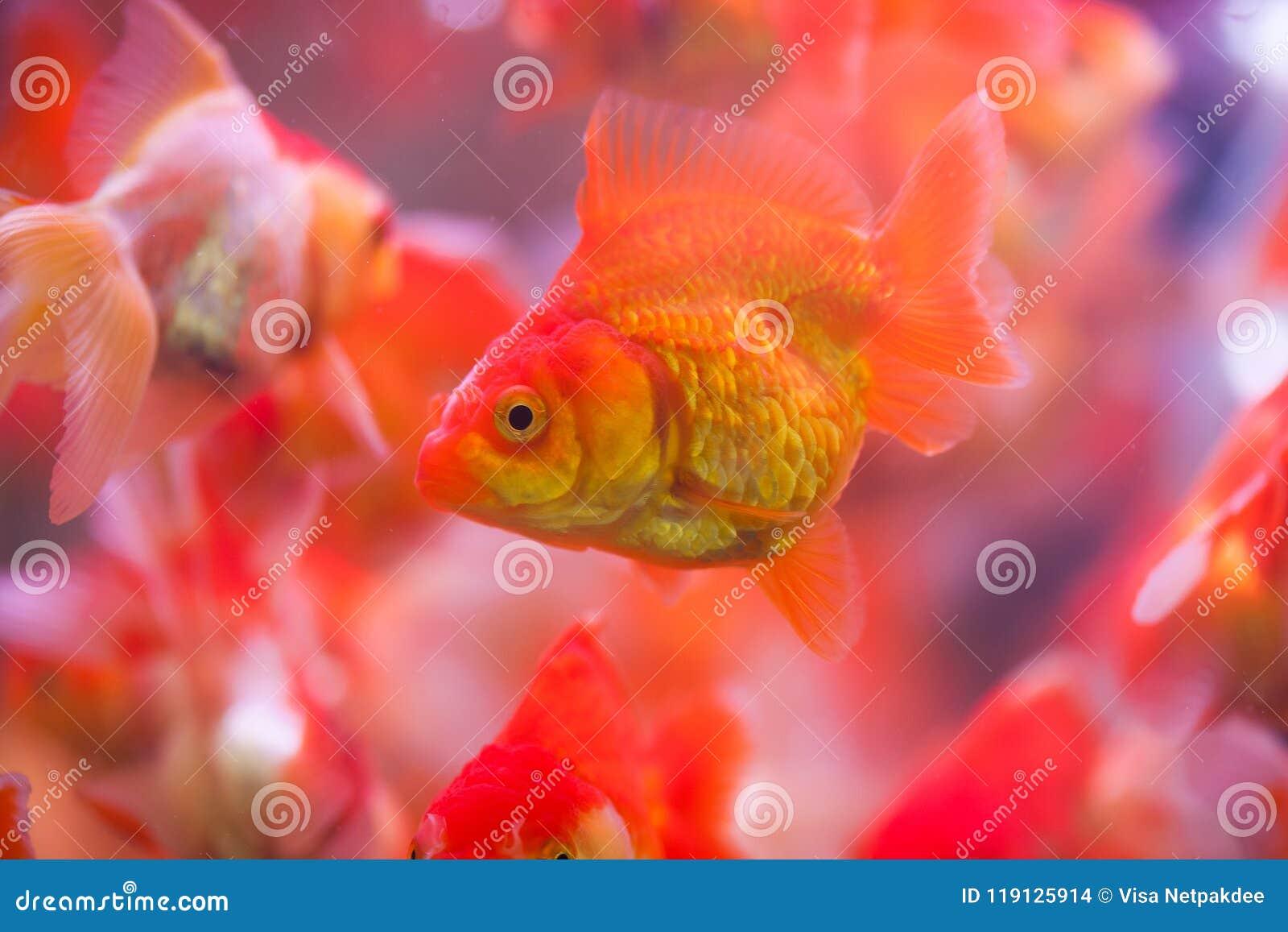 Goldfish sucks a rocks