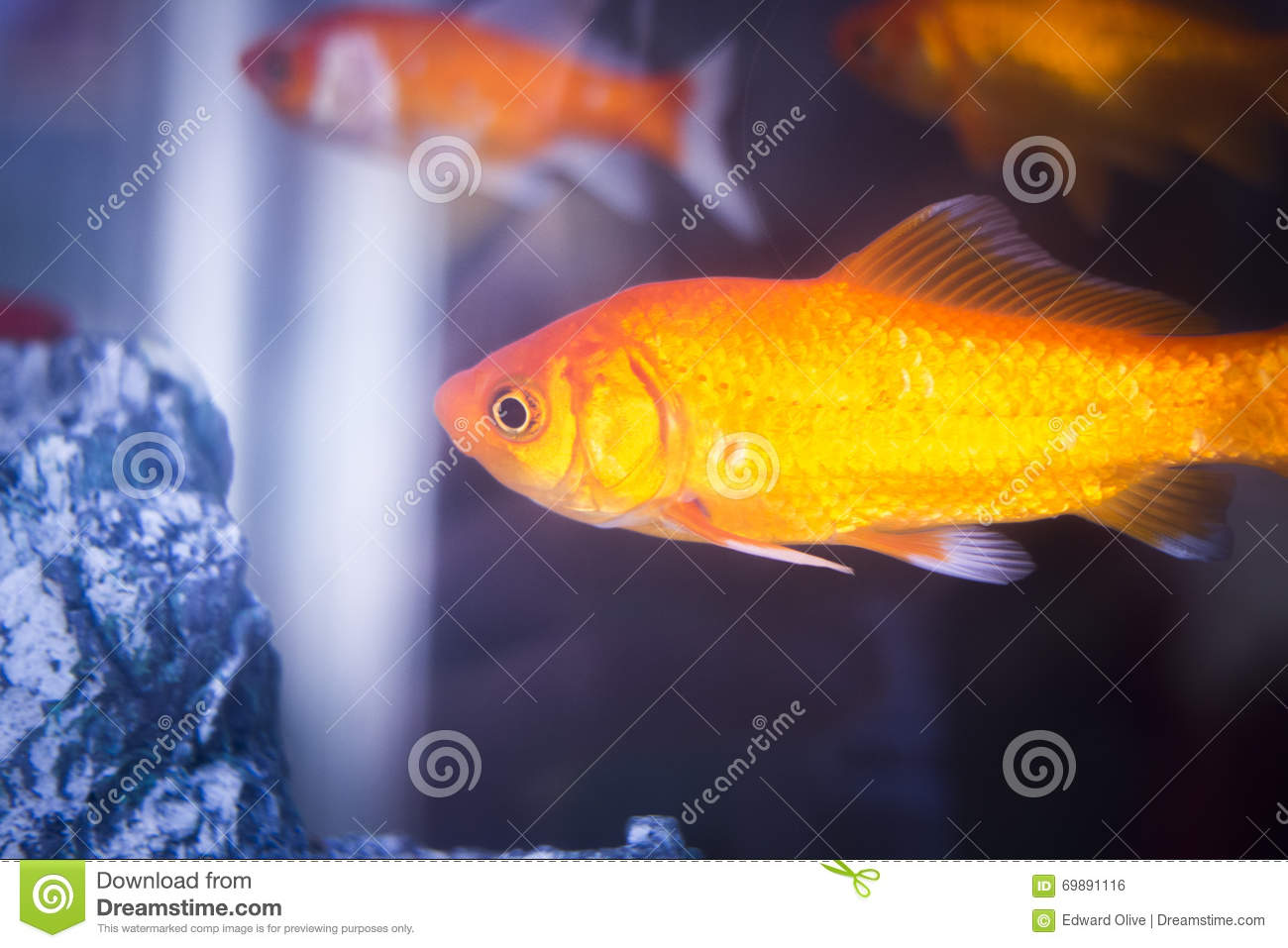 Tropical fish swimming in a tank royalty free stock image for Dream of fish swimming