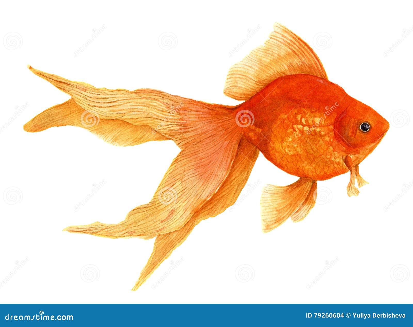 Goldfish. Watercolor artistic realistic illustration